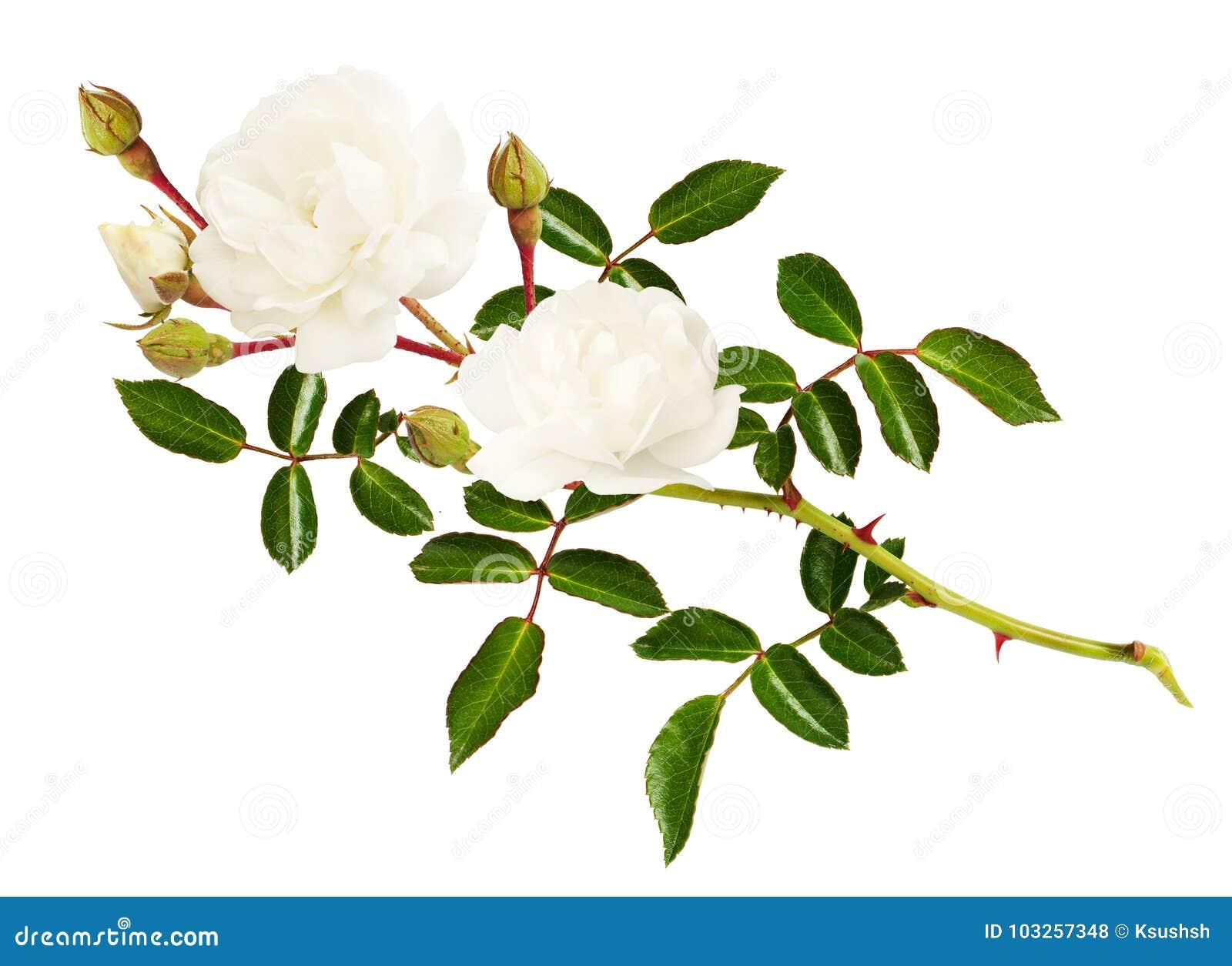 Galho da flor, dos botões e das folhas cor-de-rosa do jardim