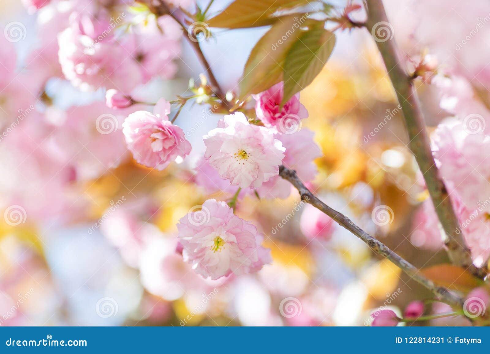 Galho de florescência da árvore de amêndoa