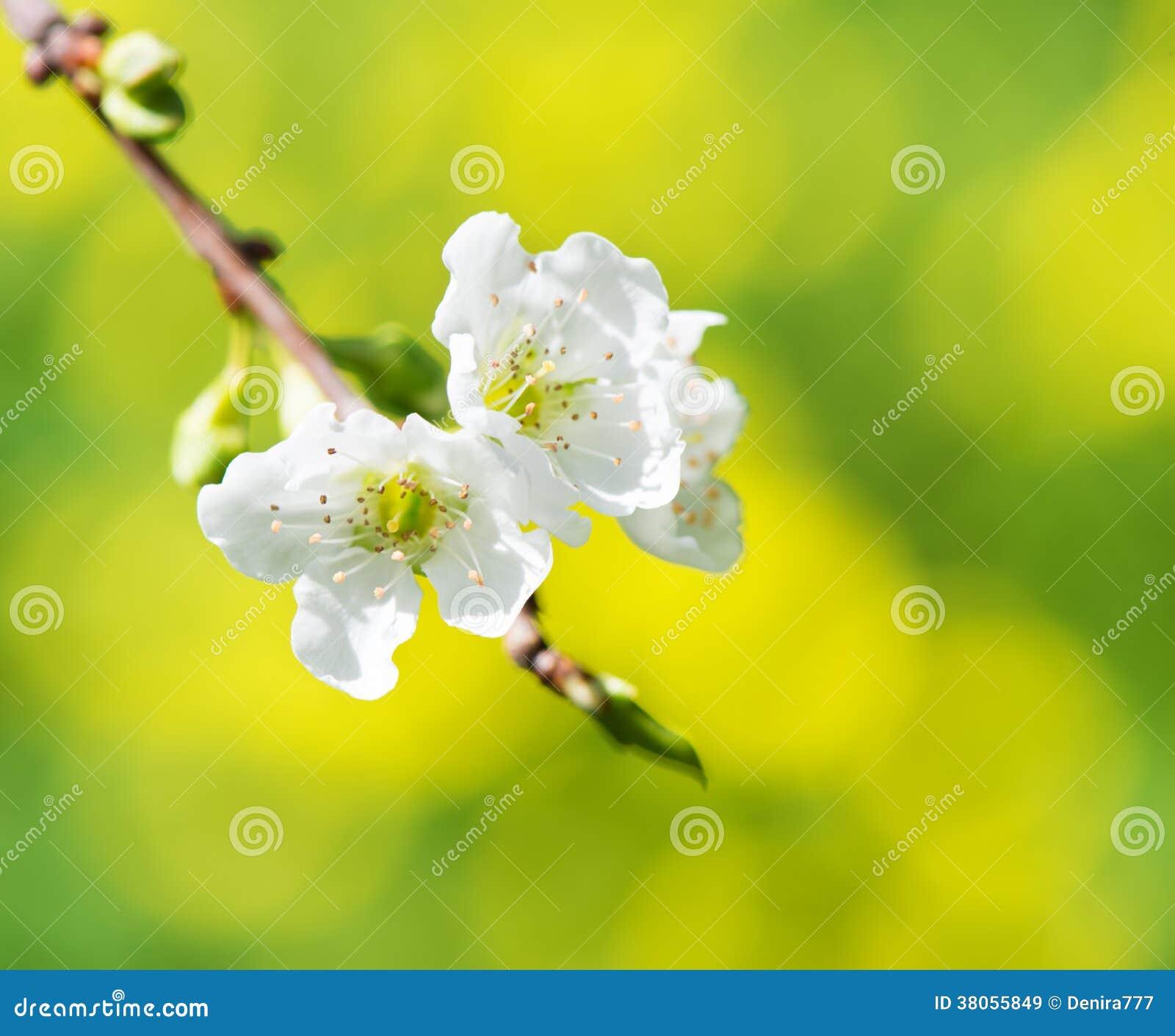 Galho de florescência da árvore de ameixa