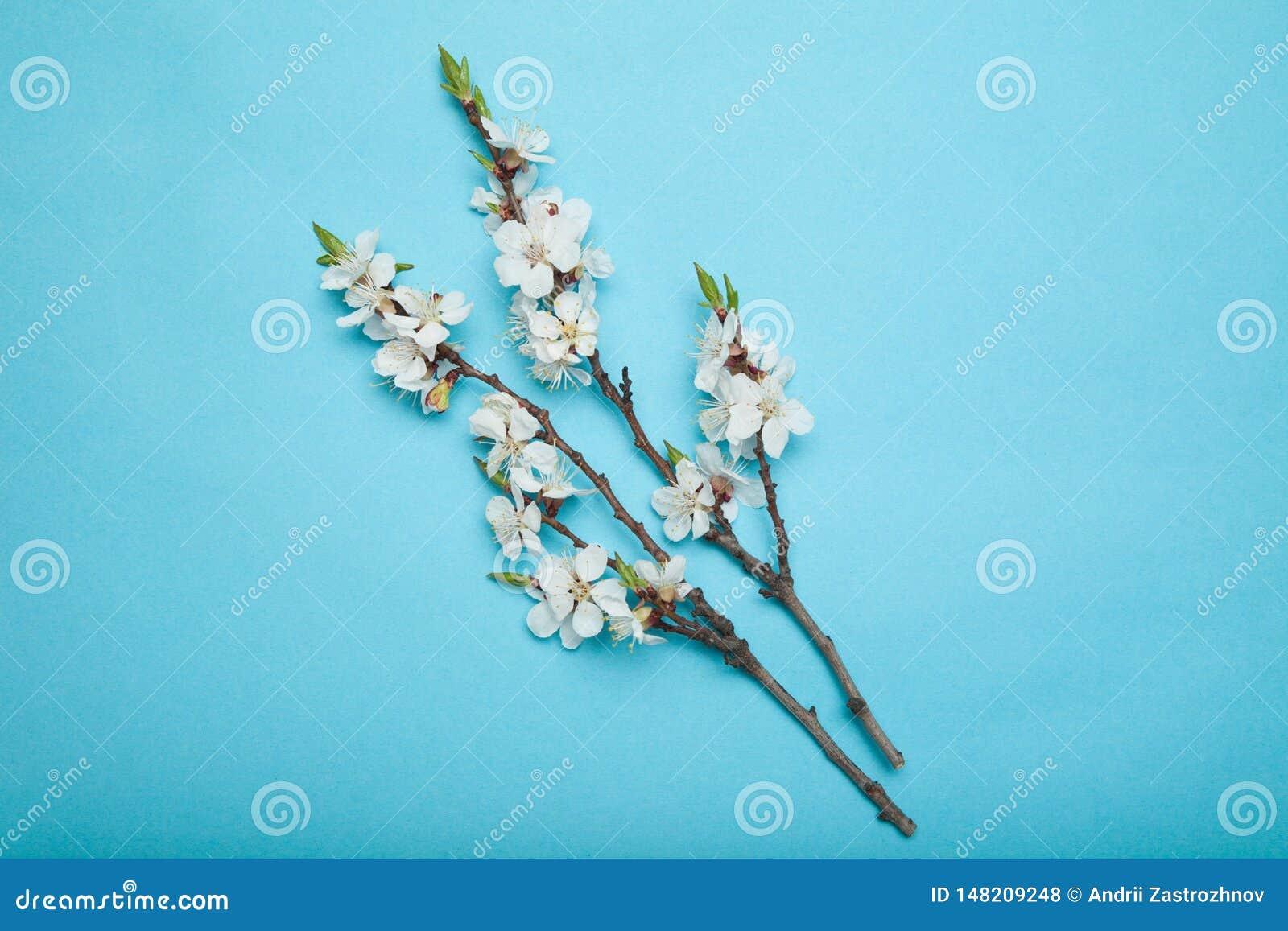 Galhos de florescência do abricó em um fundo azul