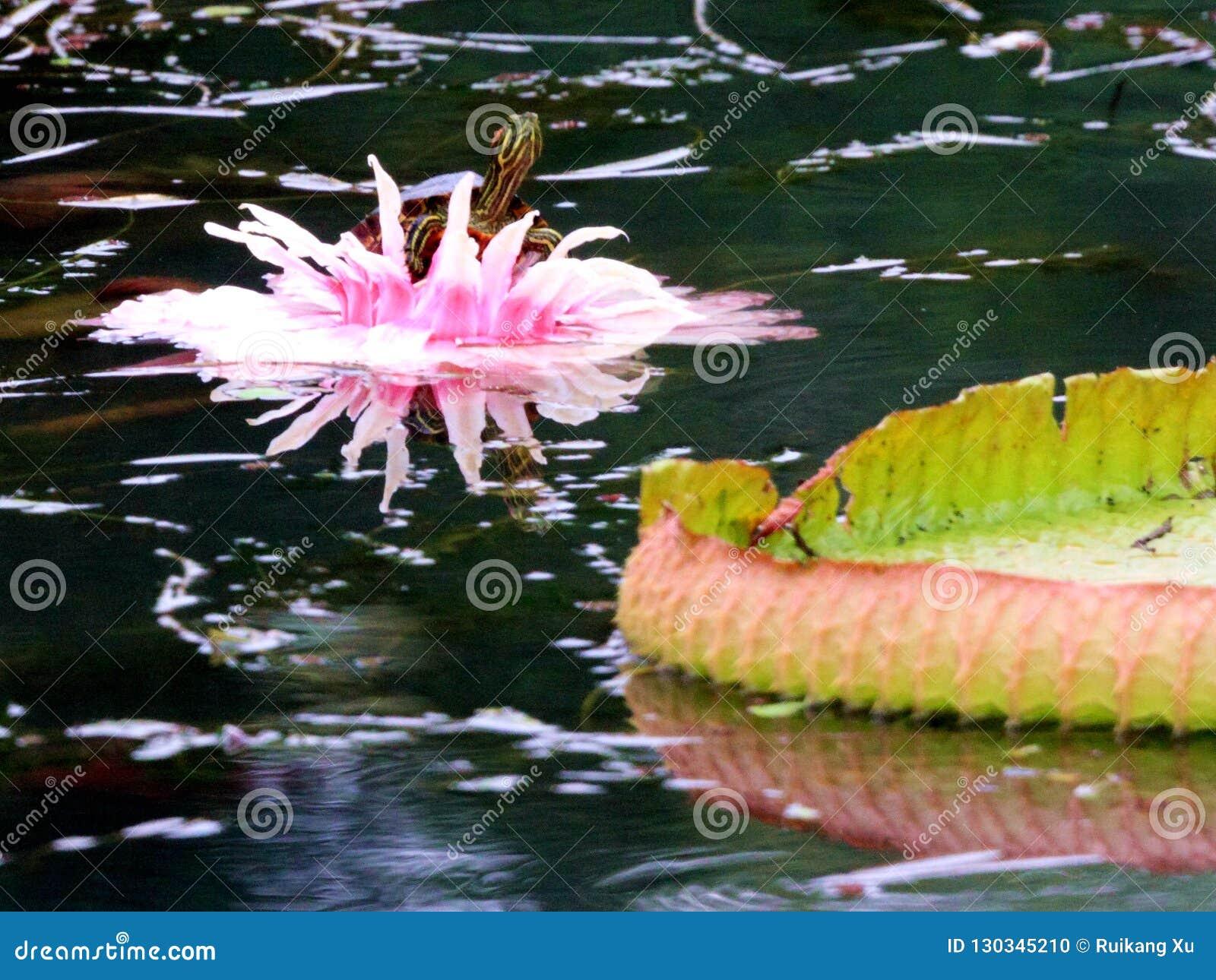 Galinha-d água Wang Lianchi da tartaruga de Lotus, agora rei