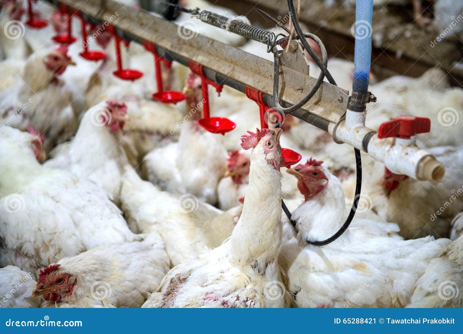 Galinha doente ou galinha triste na exploração agrícola, epidemia, gripe das aves