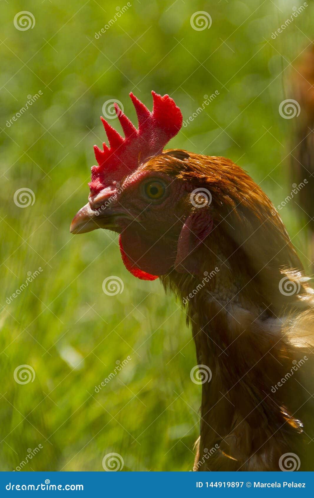 Galinha livre que pasta o dia orgânico do sol da grama verde dos ovos da crista vermelha