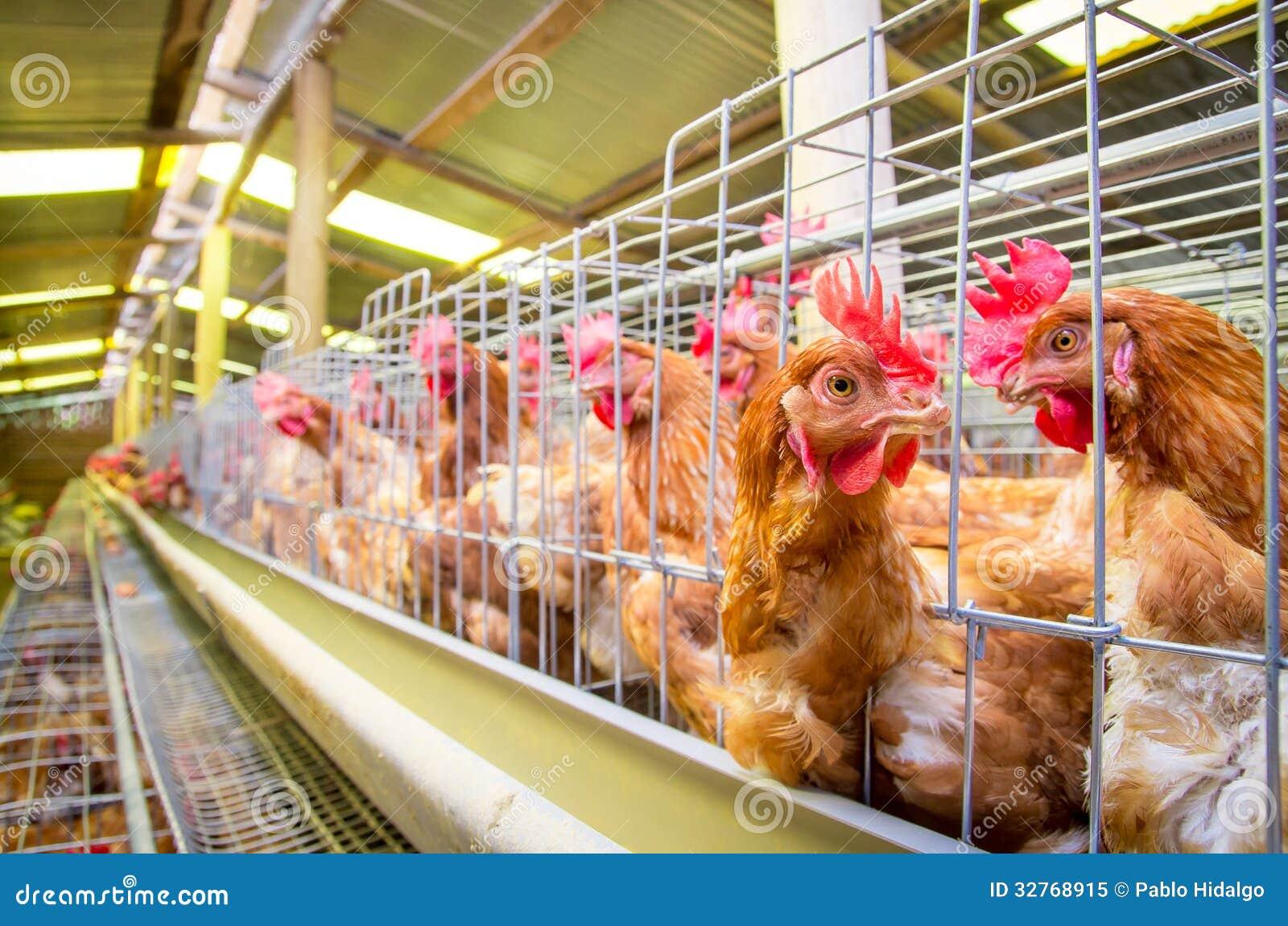 Galinhas da exploração avícola e ovos, aviário