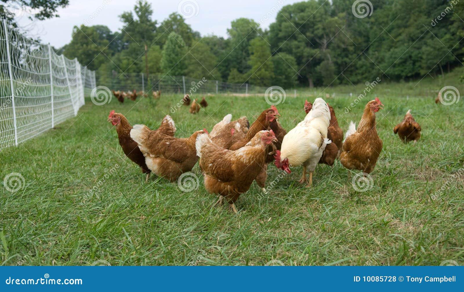 Resultado de imagem para galinhas a pasto