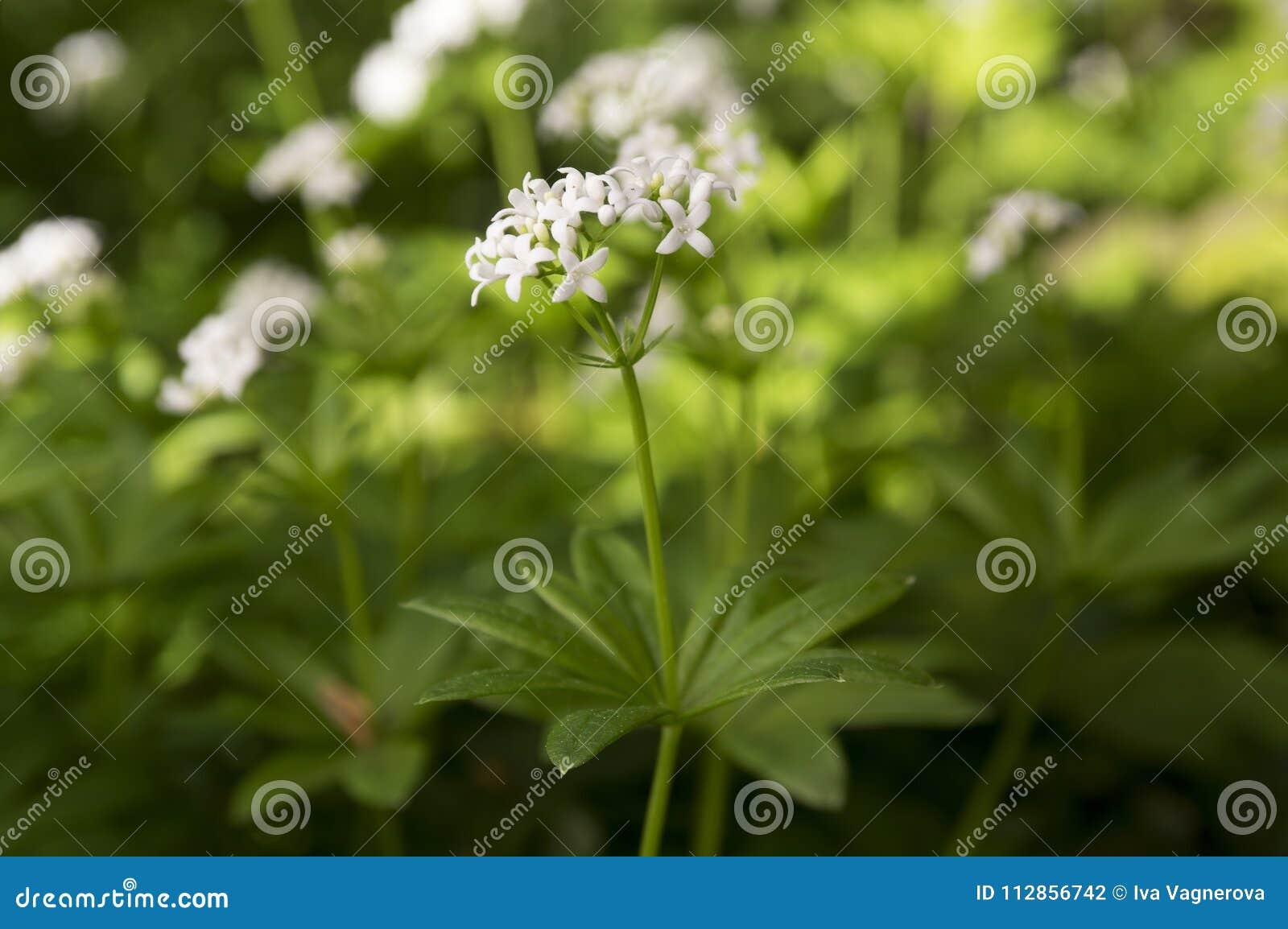 Galium Odoratum White Wildflower In Bloom Stock Photo Image Of