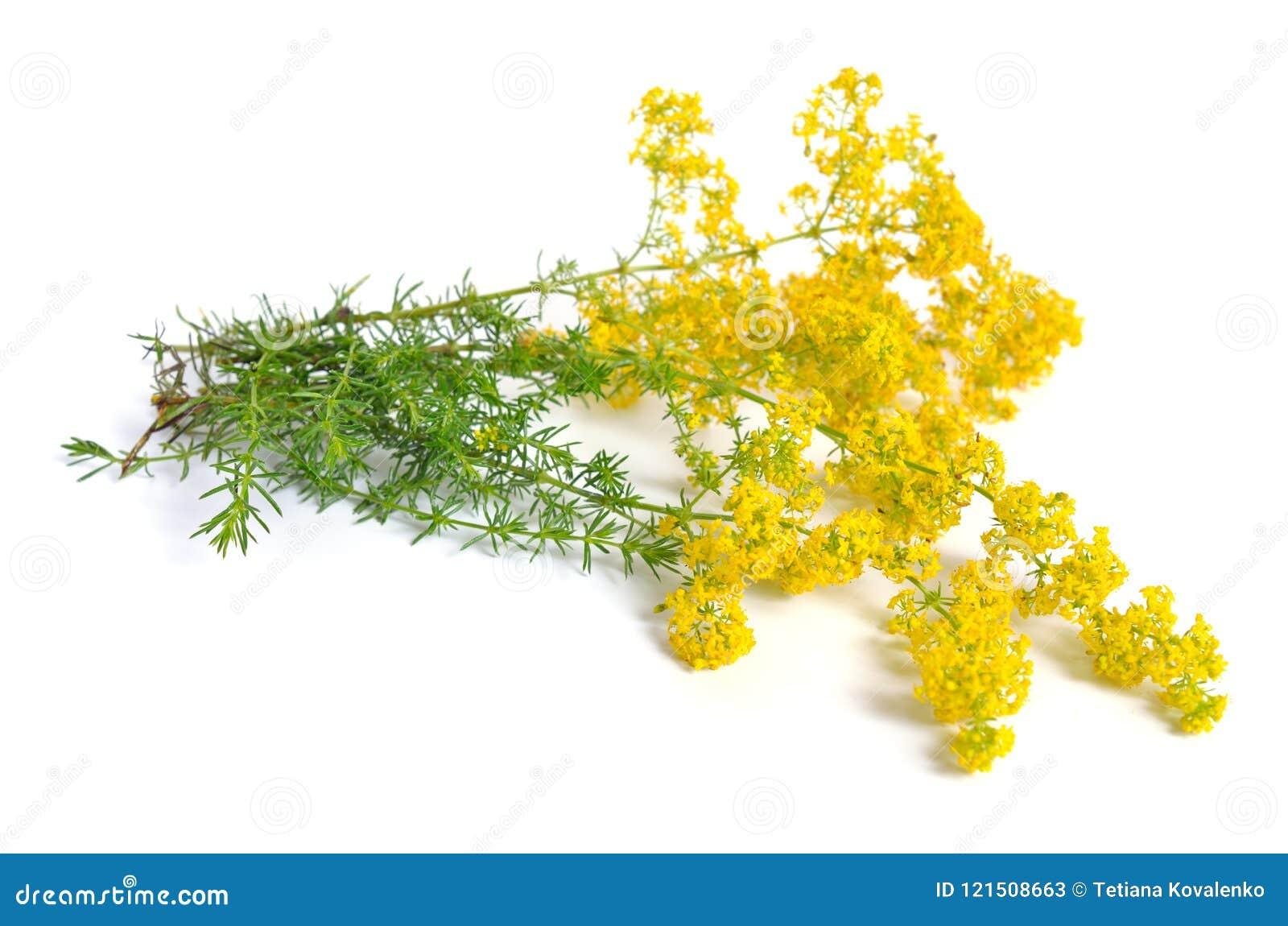 Galiumverum, bedstraw för dam` s eller gul bedstraw Isolerat på vit