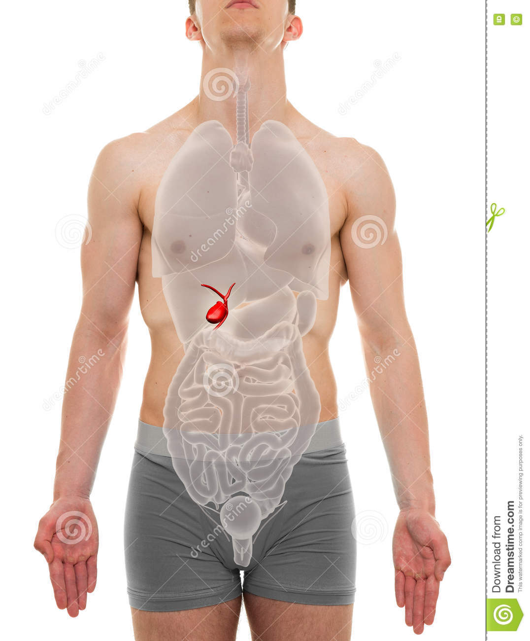 Gallbladder Male - Internal Organs Anatomy - 3D Illustration Stock ...