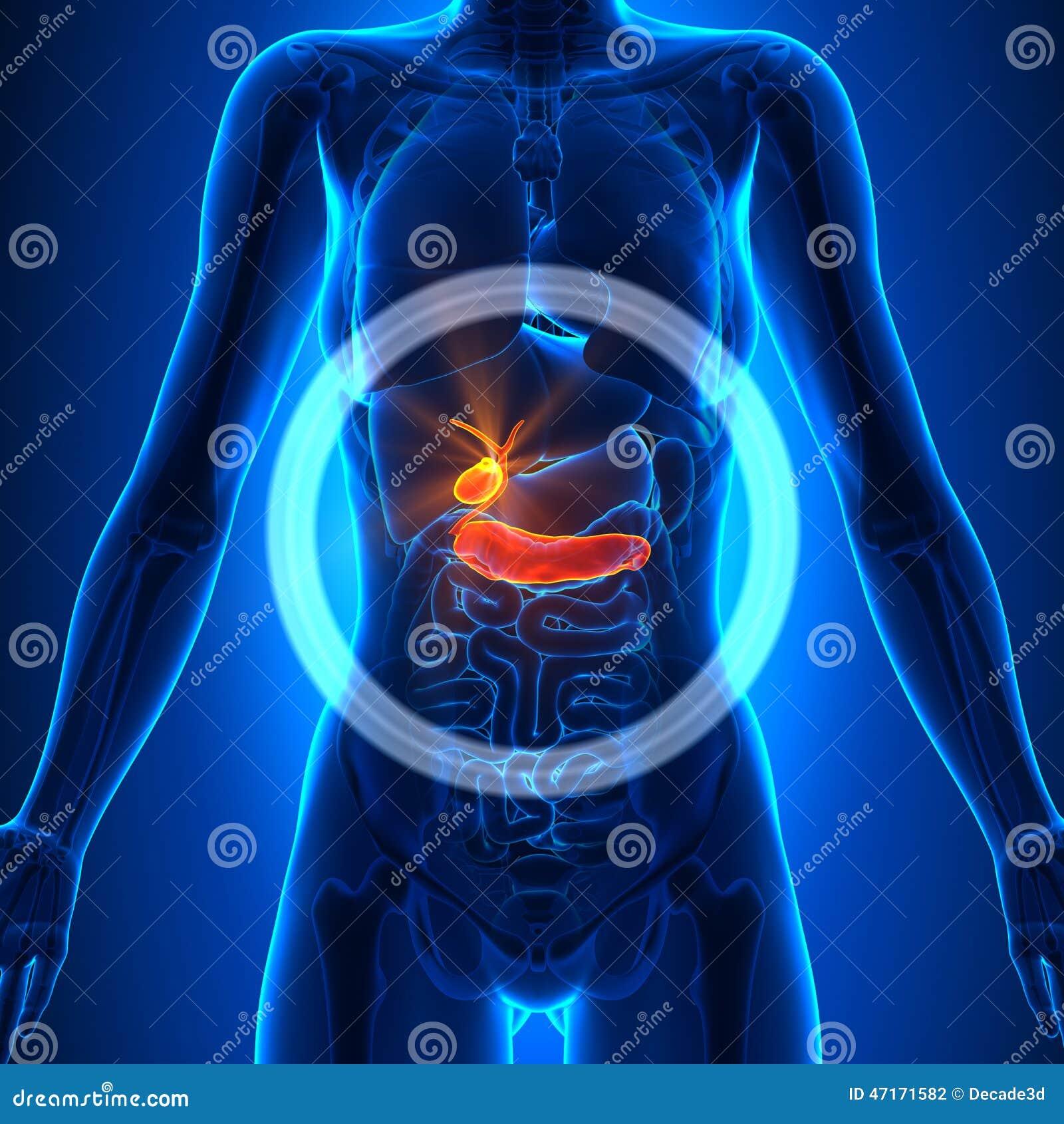 Gallbladder / Pancreas - Female Organs - Human Anatomy Stock ...