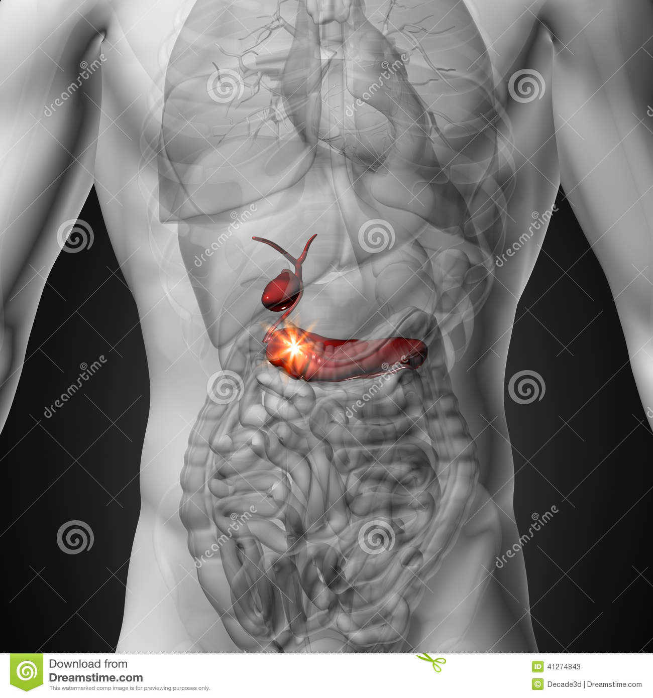 Gallbladder / Pancreas - Male Anatomy Of Human Organs - X-ray View ...