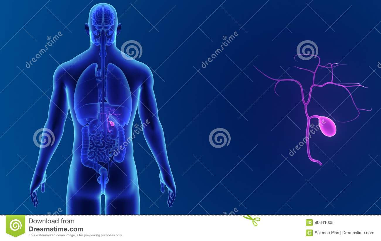 Gallbladder Zoom With Organs Stock Video Video Of Skeleton Veins