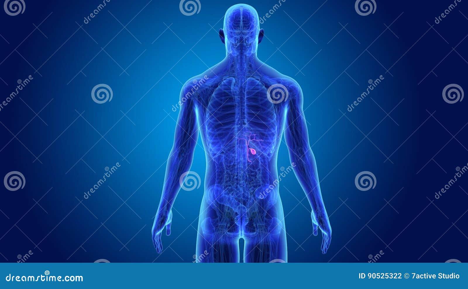 Gallenblase mit Anatomie stock footage. Illustration von leber ...