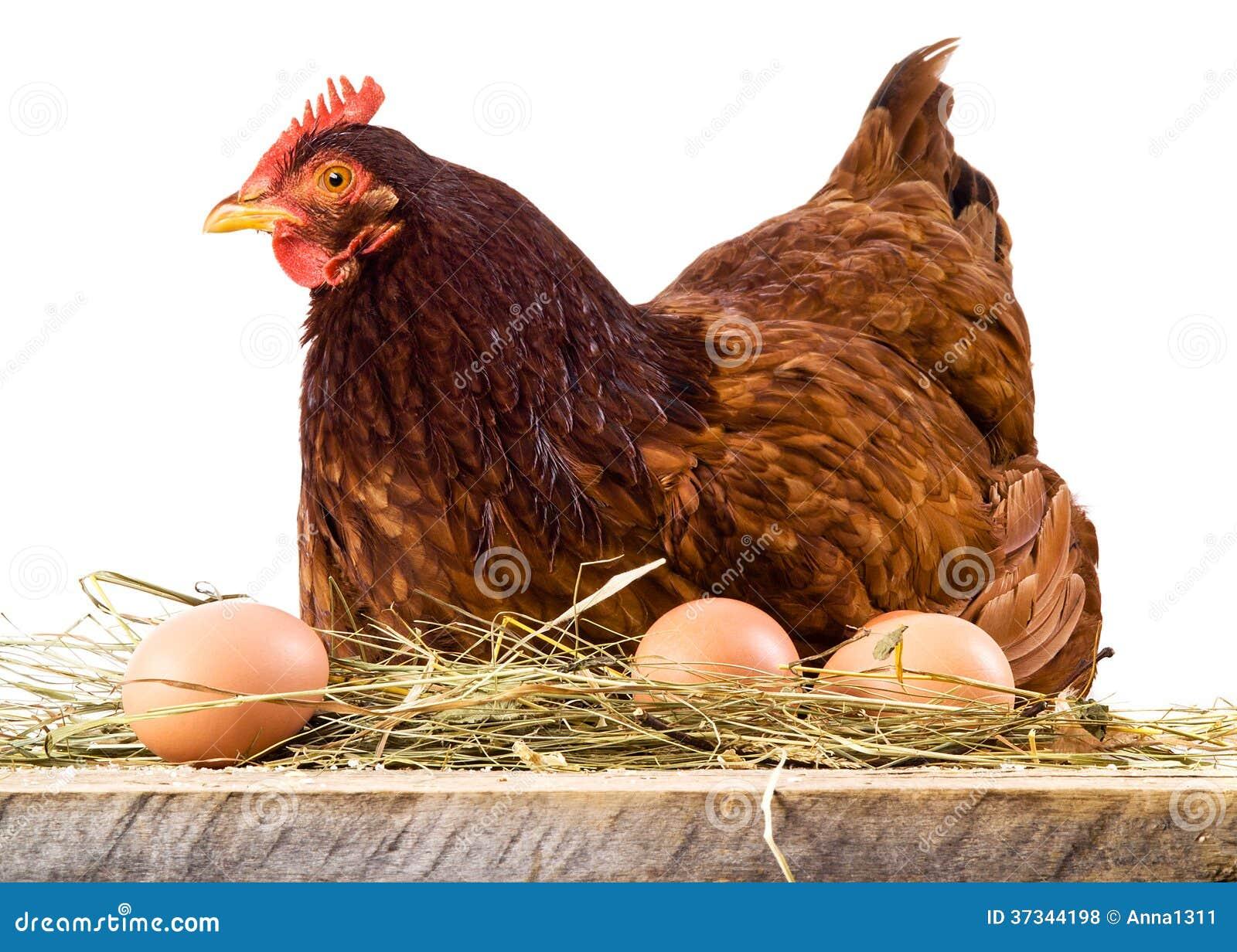 Gallina in fieno con le uova isolate su bianco