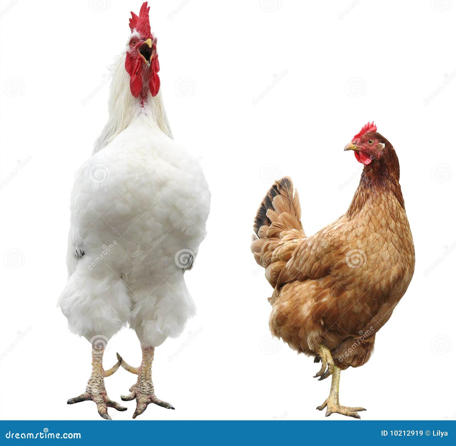 Gallina y gallo divertidos
