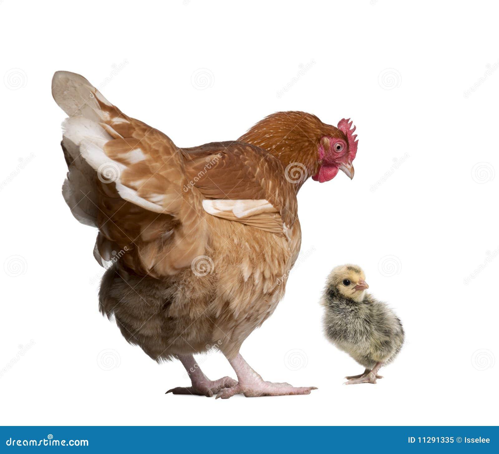Gallina y polluelo de Brown contra el fondo blanco