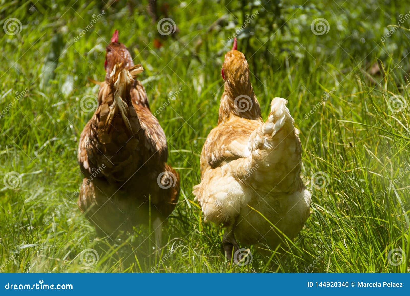 Gallinas libres que pastan día orgánico del sol de la hierba verde de los huevos