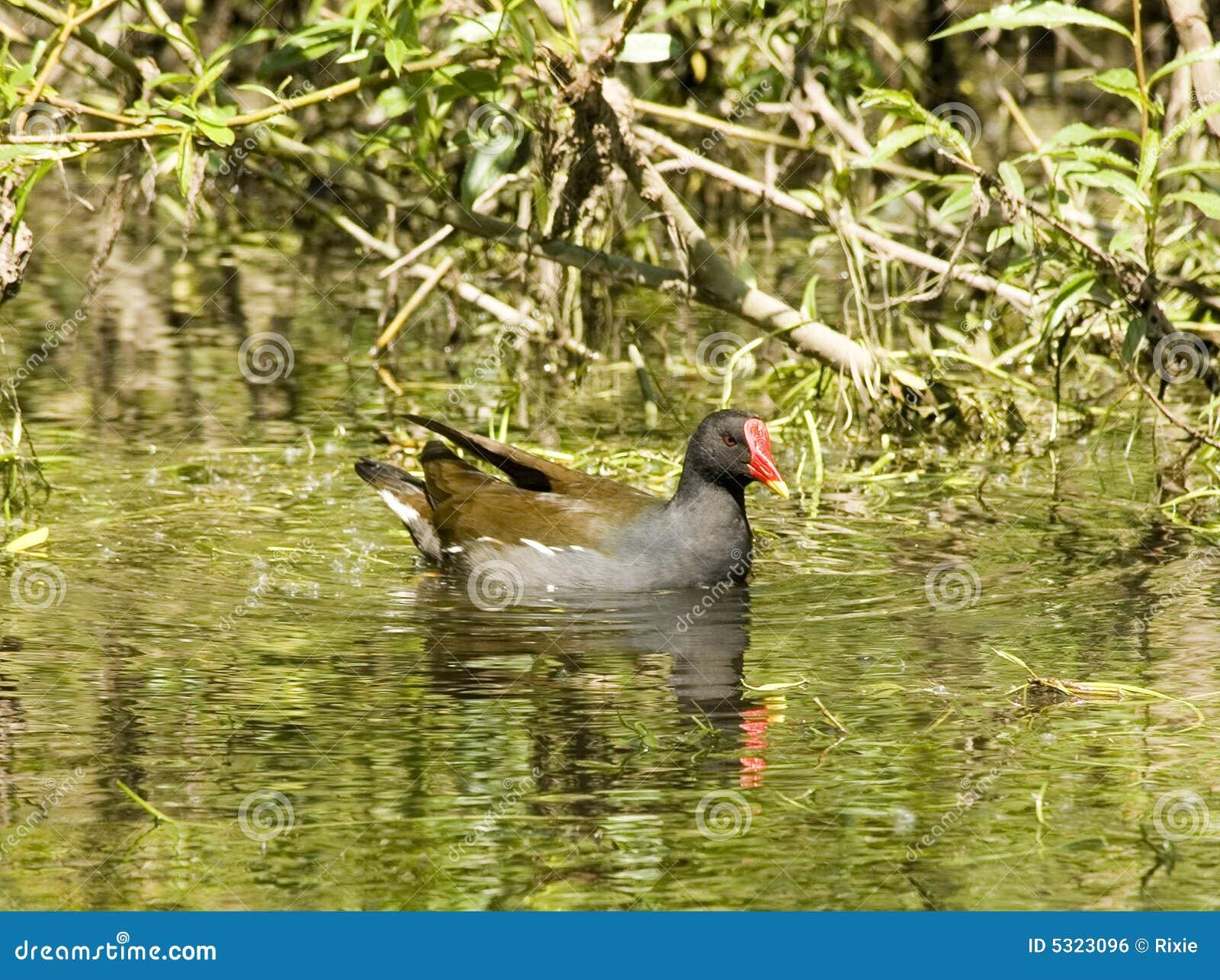 Download Gallinella d'acqua fotografia stock. Immagine di riflessione - 5323096