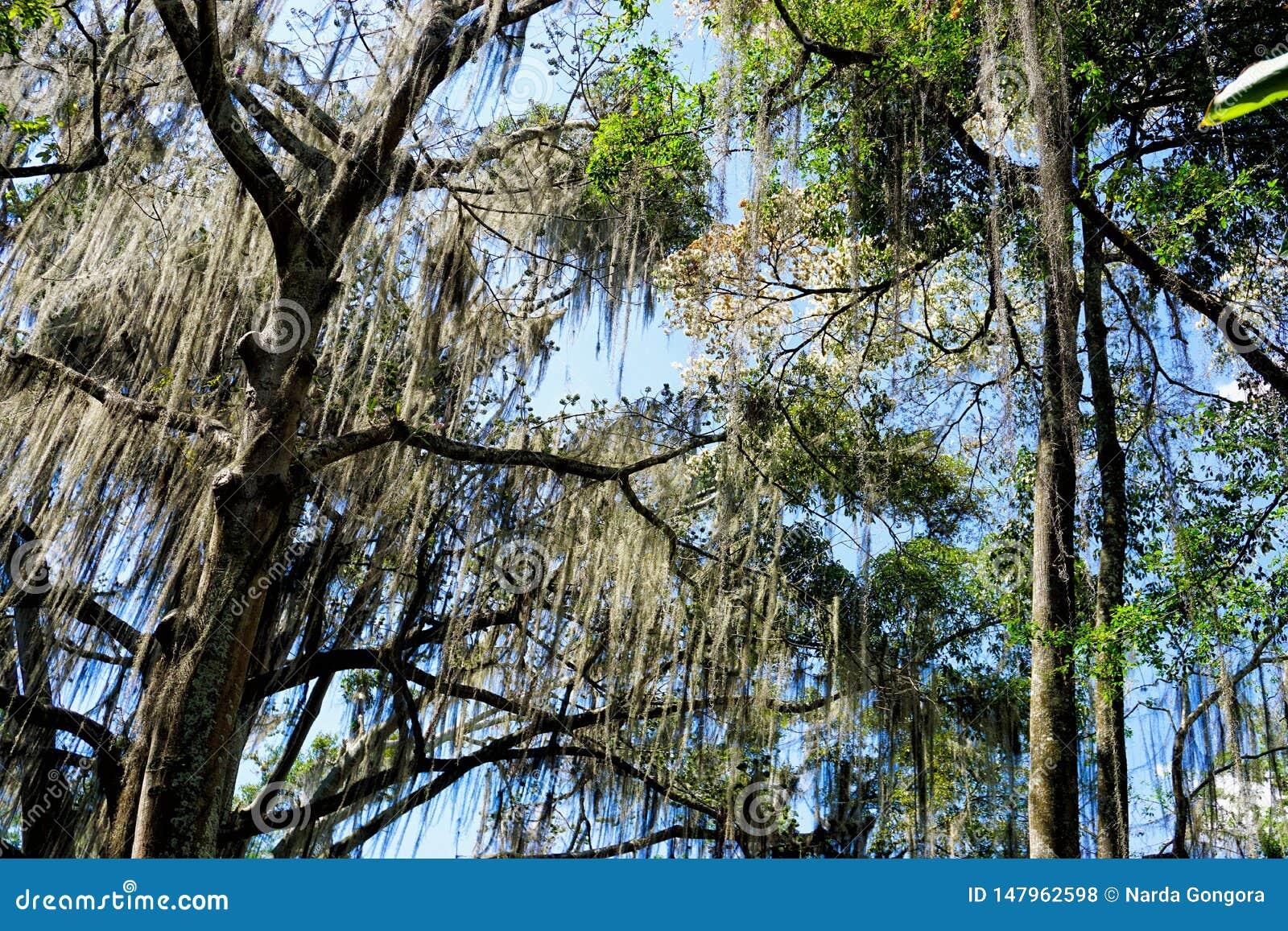 Gallineralbomen in een Park in San Gil, Colombia