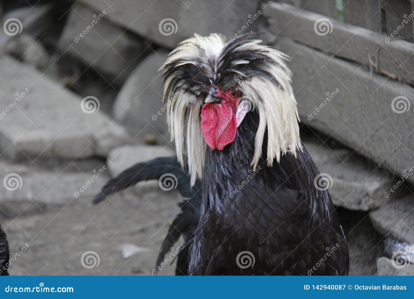 Gallo in bianco e nero peloso su fondo grigio