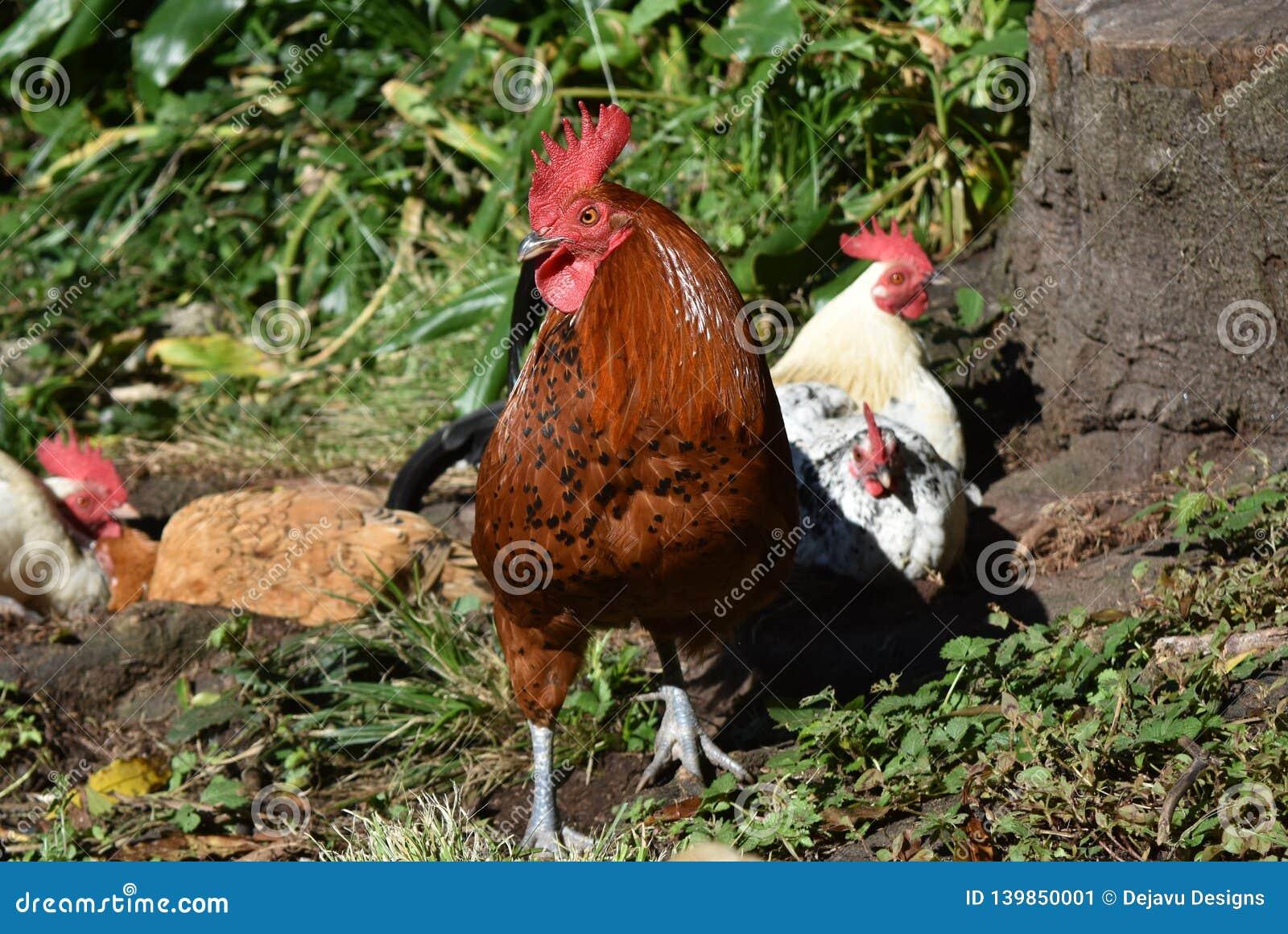 Gallo rosso che custodice vigilante la sua moltitudine di galline