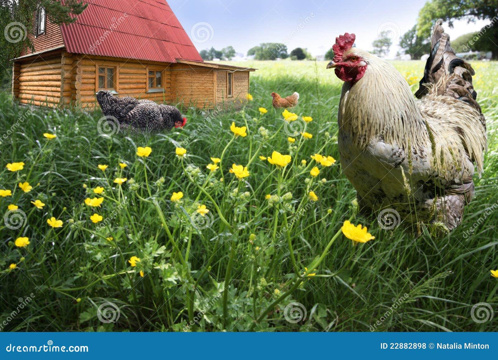 Gallo y gallinas libres del rango