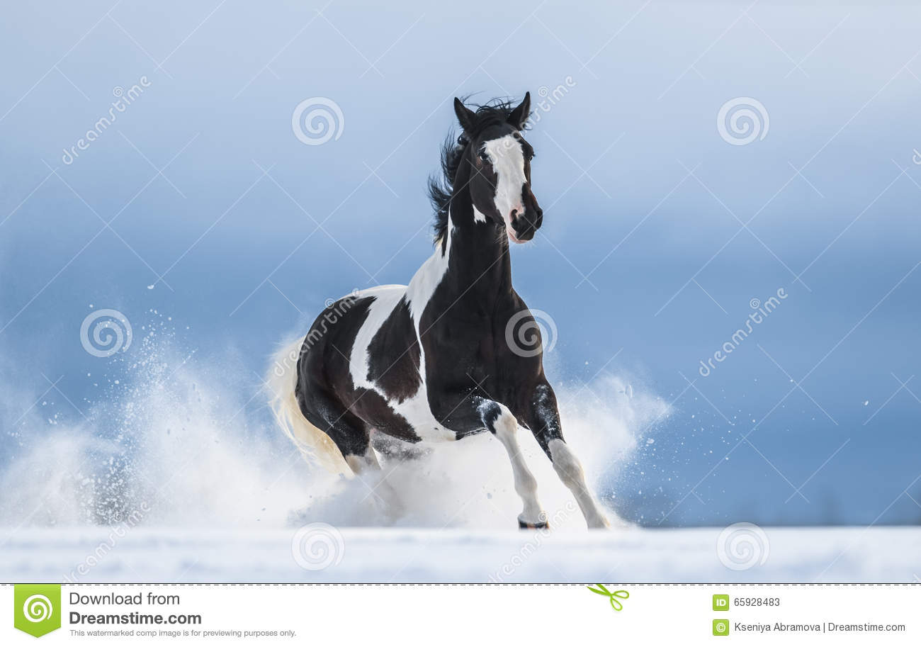 Galloping American Paint horse in snow
