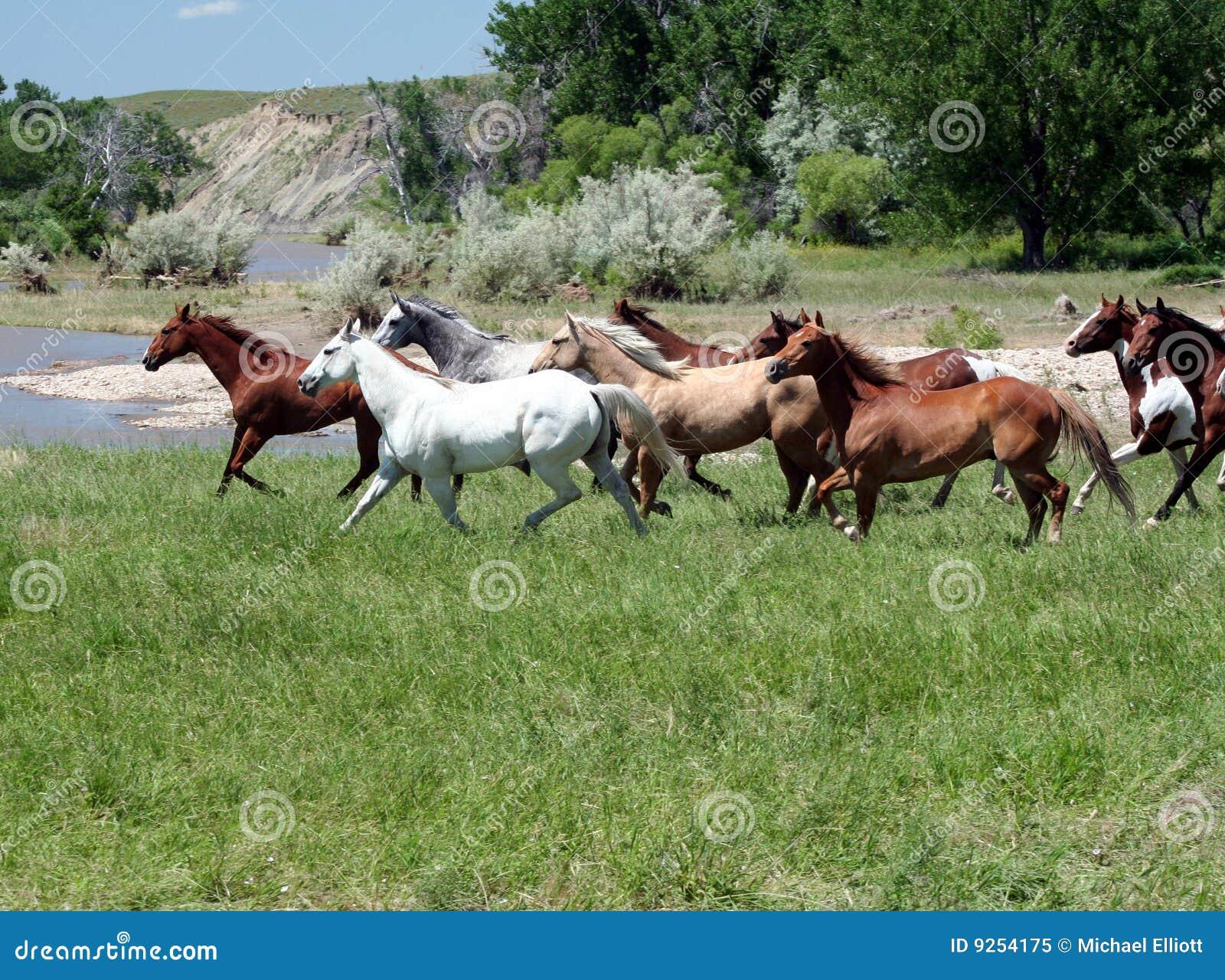 Horse herd galloping