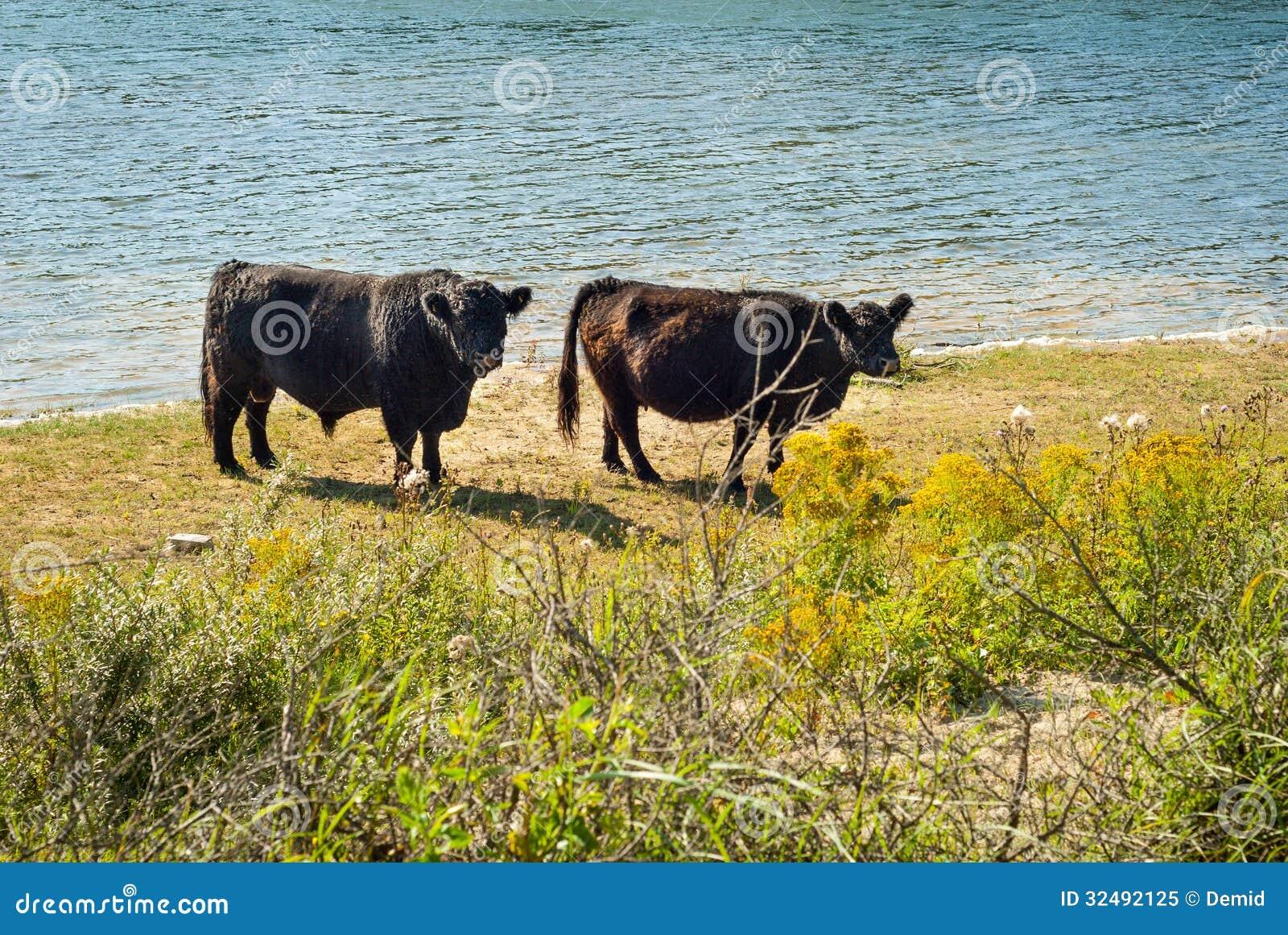 Galloway-Vieh an einem Strand