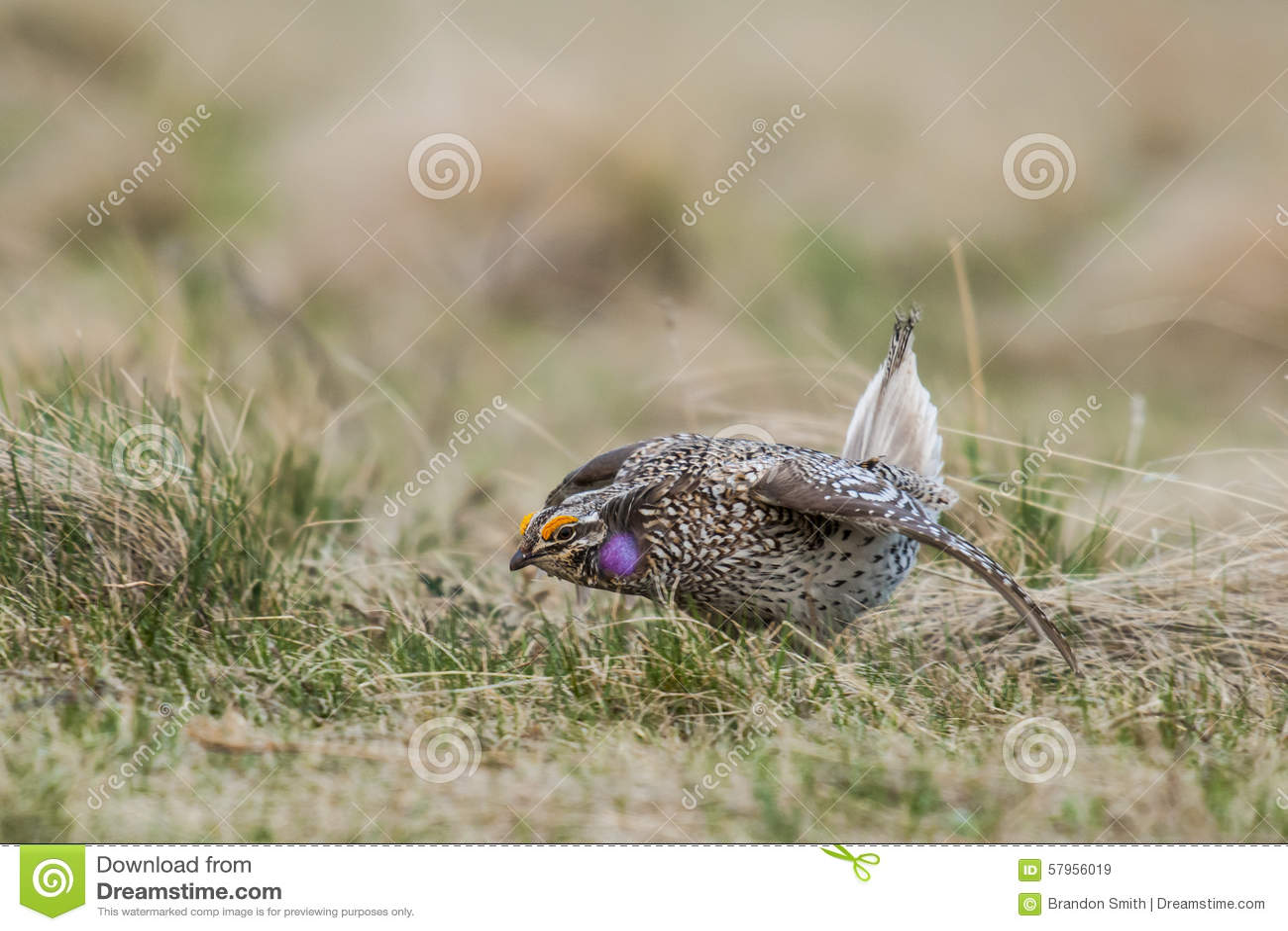 Galo silvestre Afiado-atado (phasianellus do Tympanuchus)