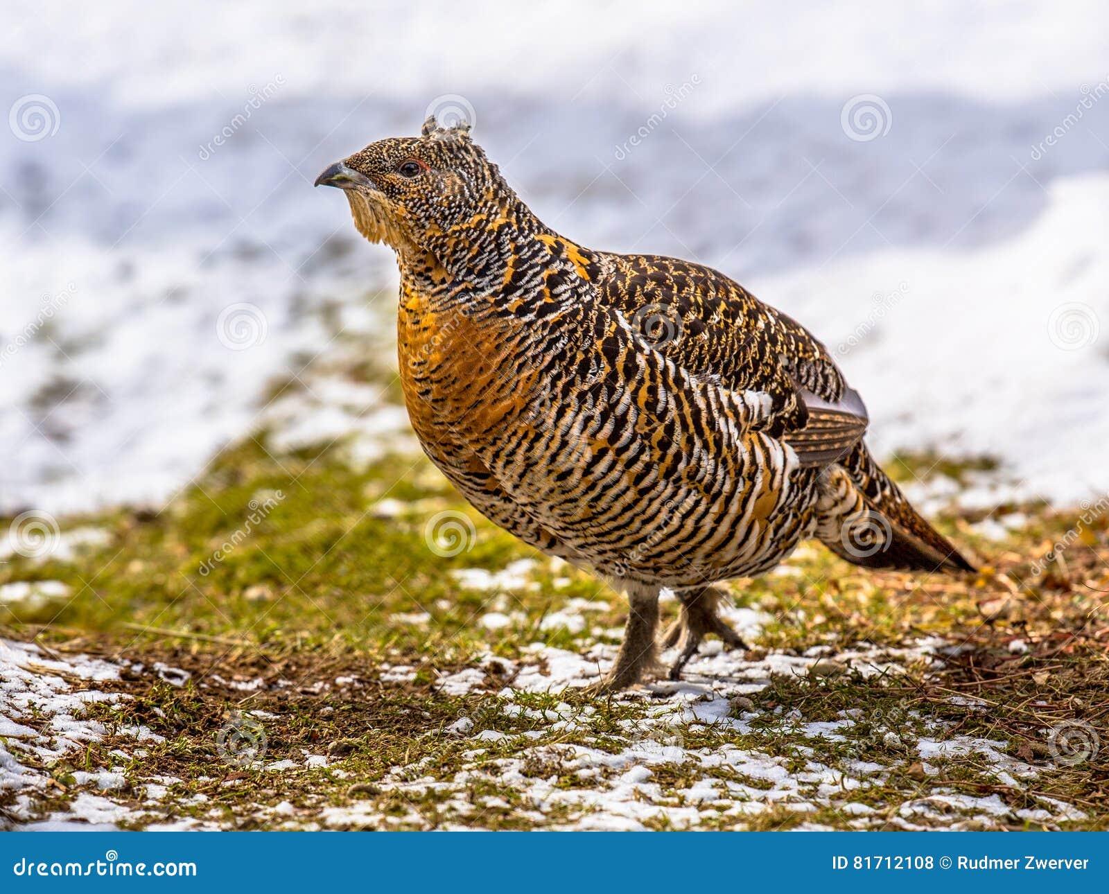 Galo silvestre ocidental fêmea no campo nevado