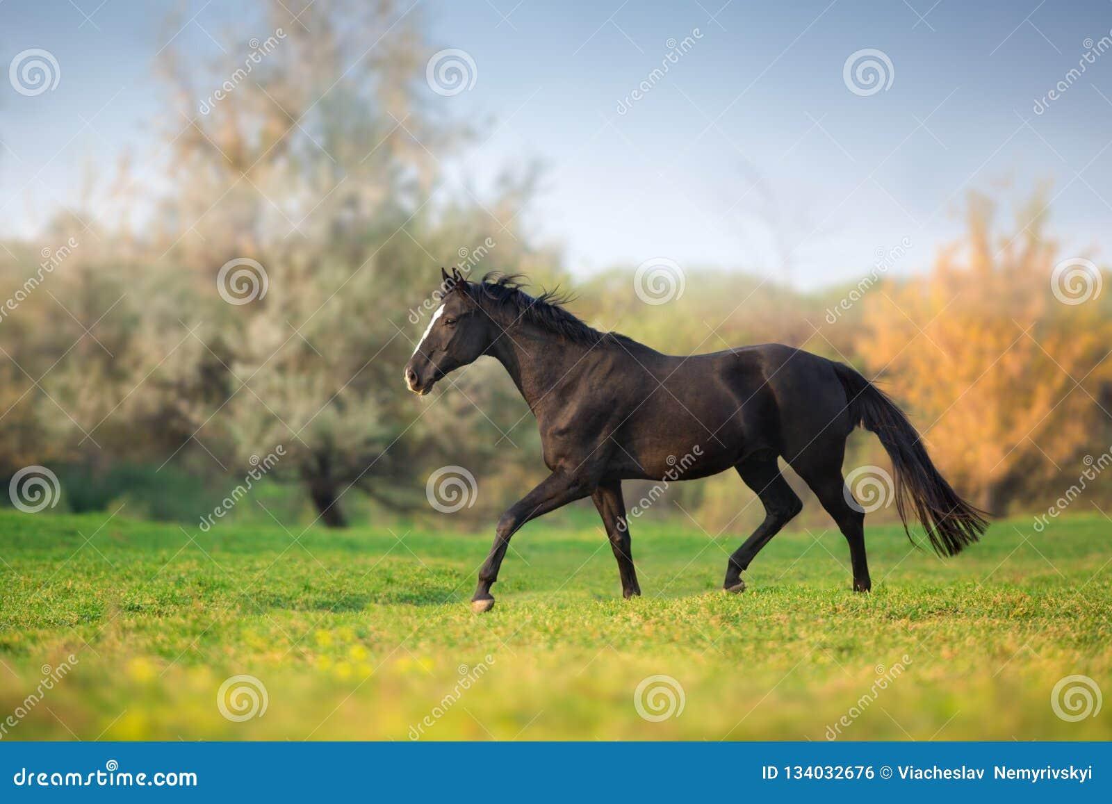 Galop de course de cheval