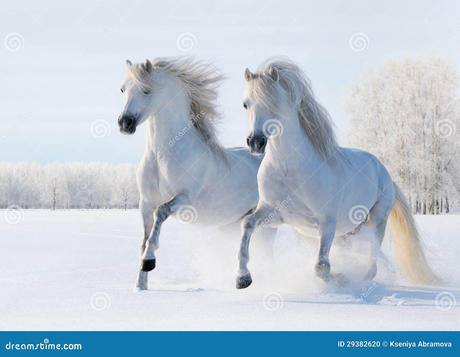 galop-de-deux-chevaux-blancs-sur-la-zone-de-neige-29382620.jpg