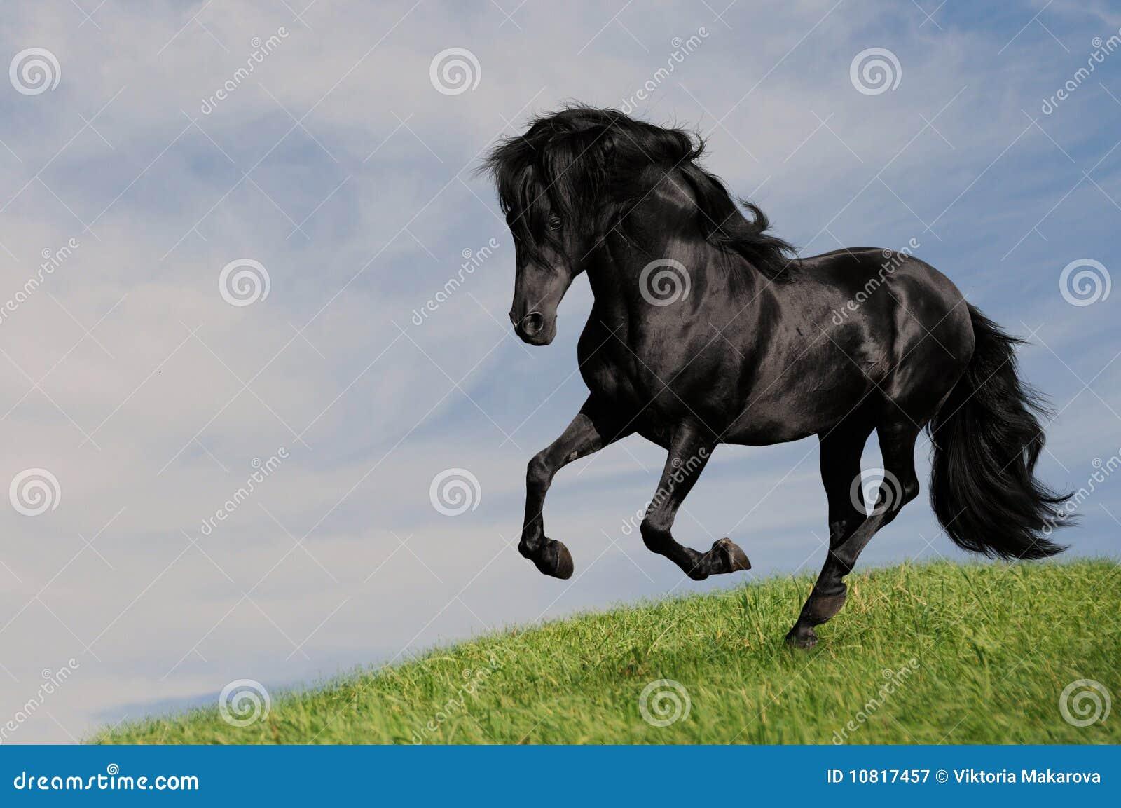 Galop noir OM de passage d étalon de cheval le pré