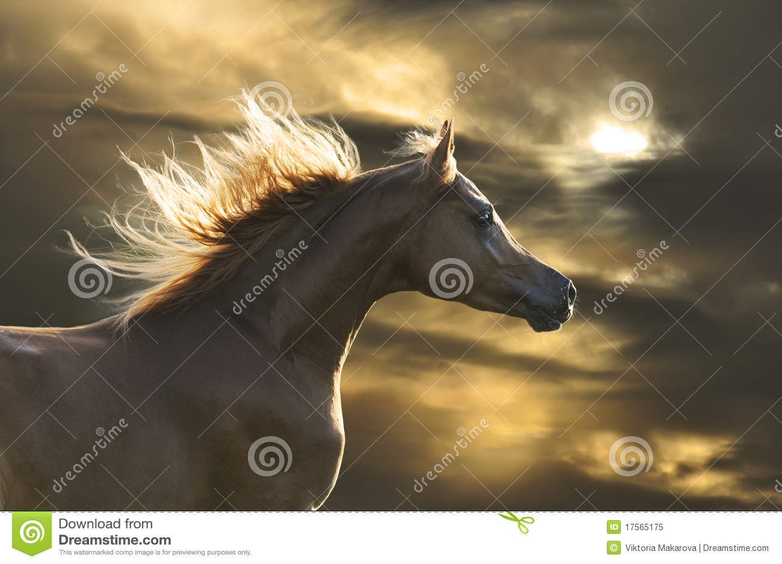 Galop rouge de passages de cheval dans le coucher du soleil