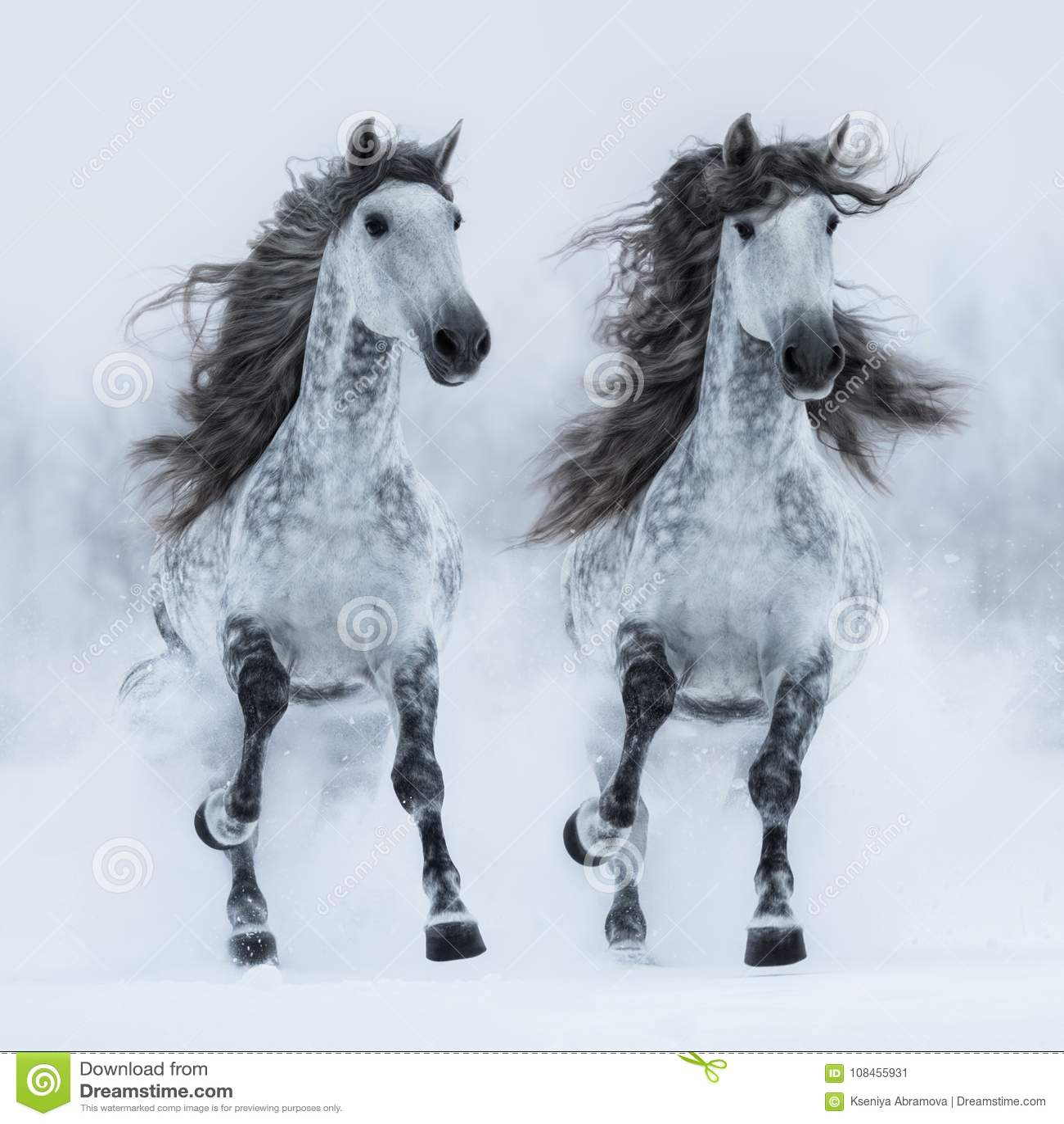 Galop van de twee de grijze lang-maned $ce-andalusisch paardenlooppas over gebied
