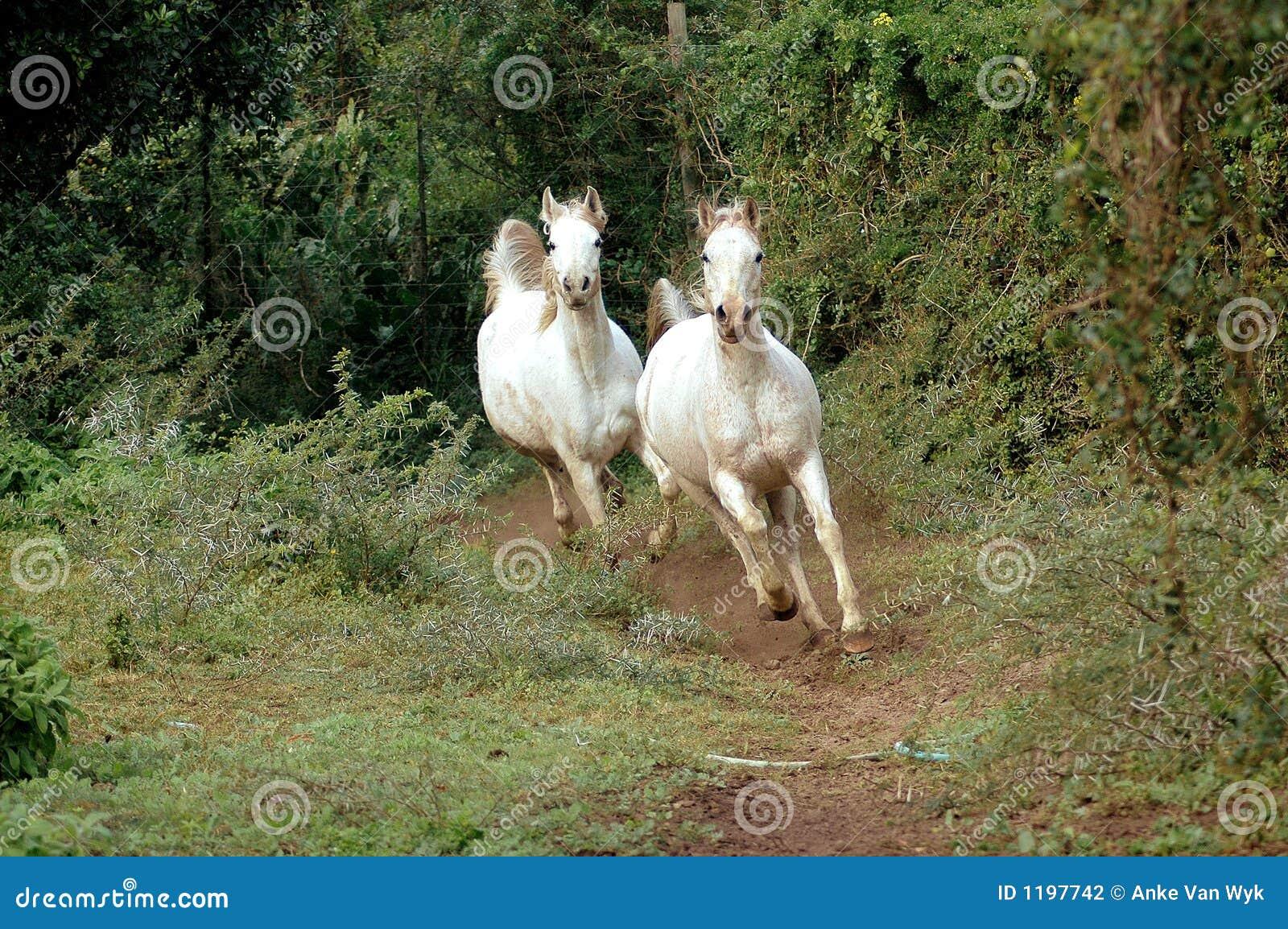 Galope árabe de los caballos
