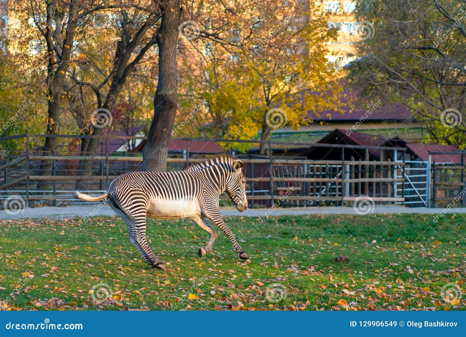 Galopes de la cebra en parque de la ciudad en la estación del otoño