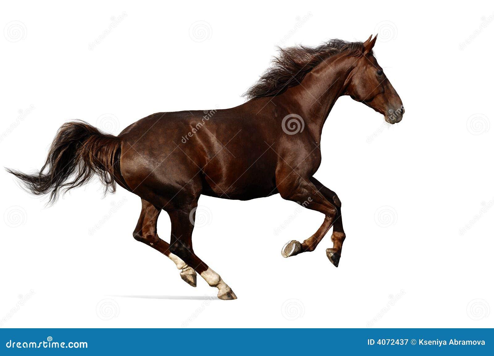Galopes del caballo de Budenny