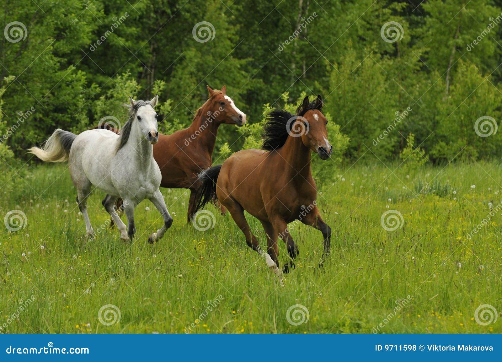 Galoppierende Pferde Auf Wiese Am Sommer Stockfoto - Bild von gruppe ...