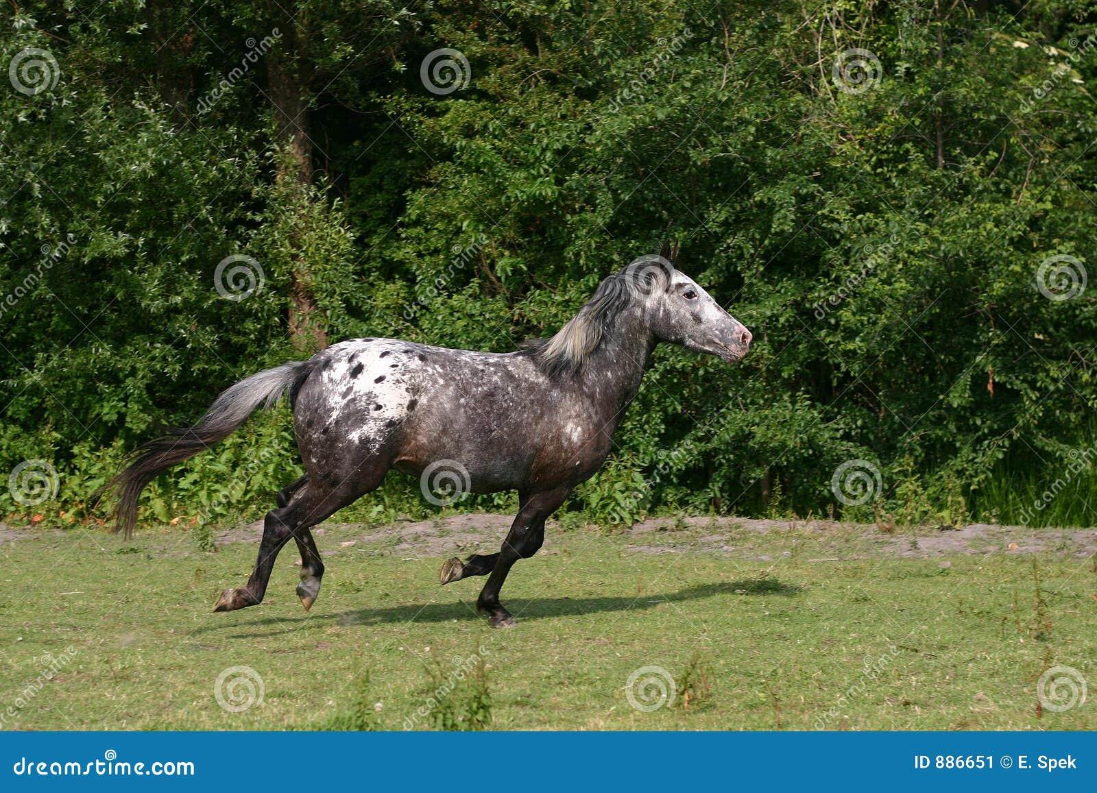 Galopping konia