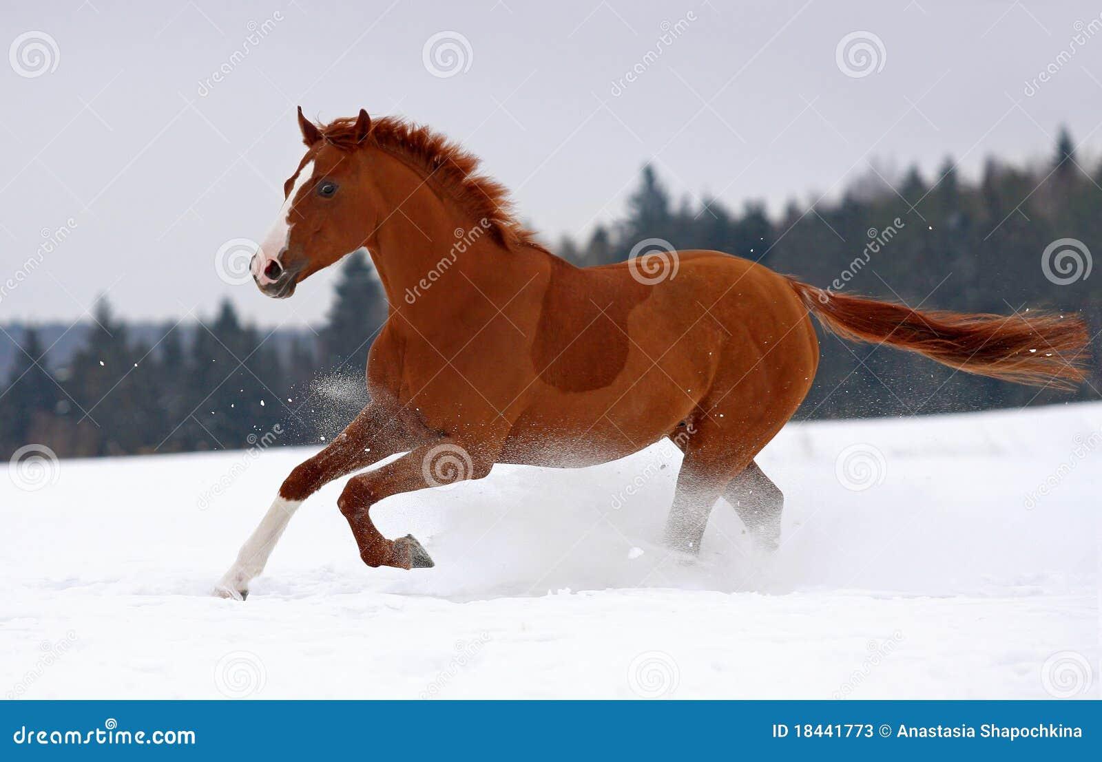 Galoppo del cavallo su neve immagine stock immagine for Sfondi cavalli gratis