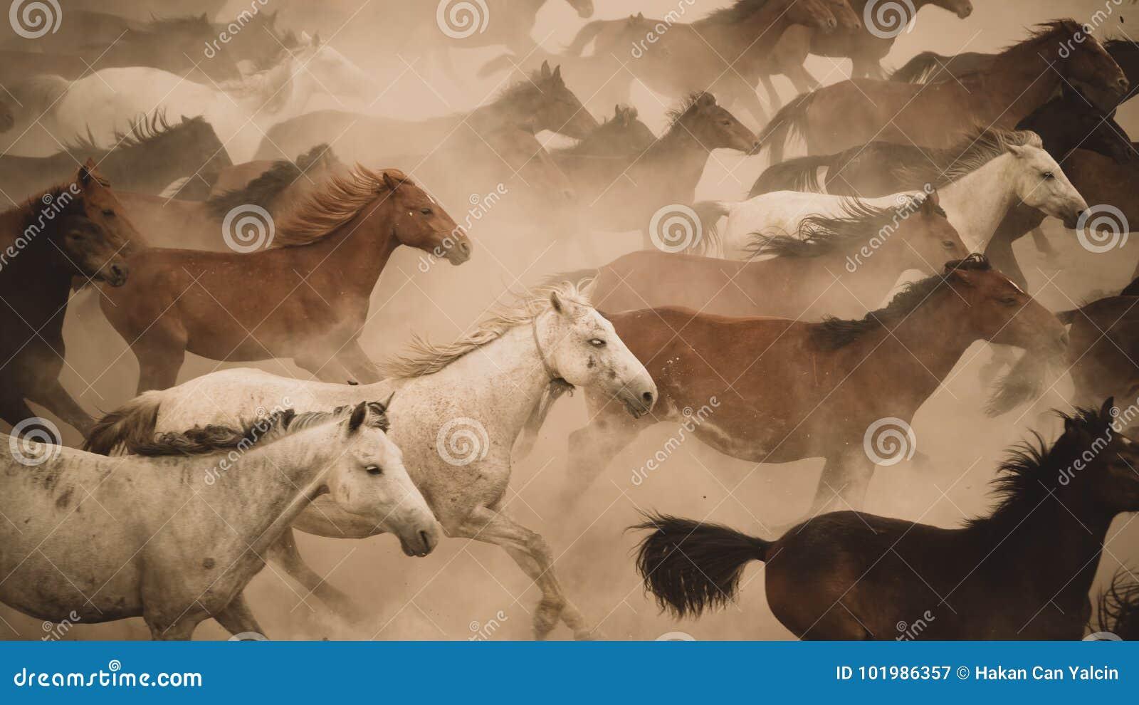 Galoppo di funzionamento dei cavalli in polvere