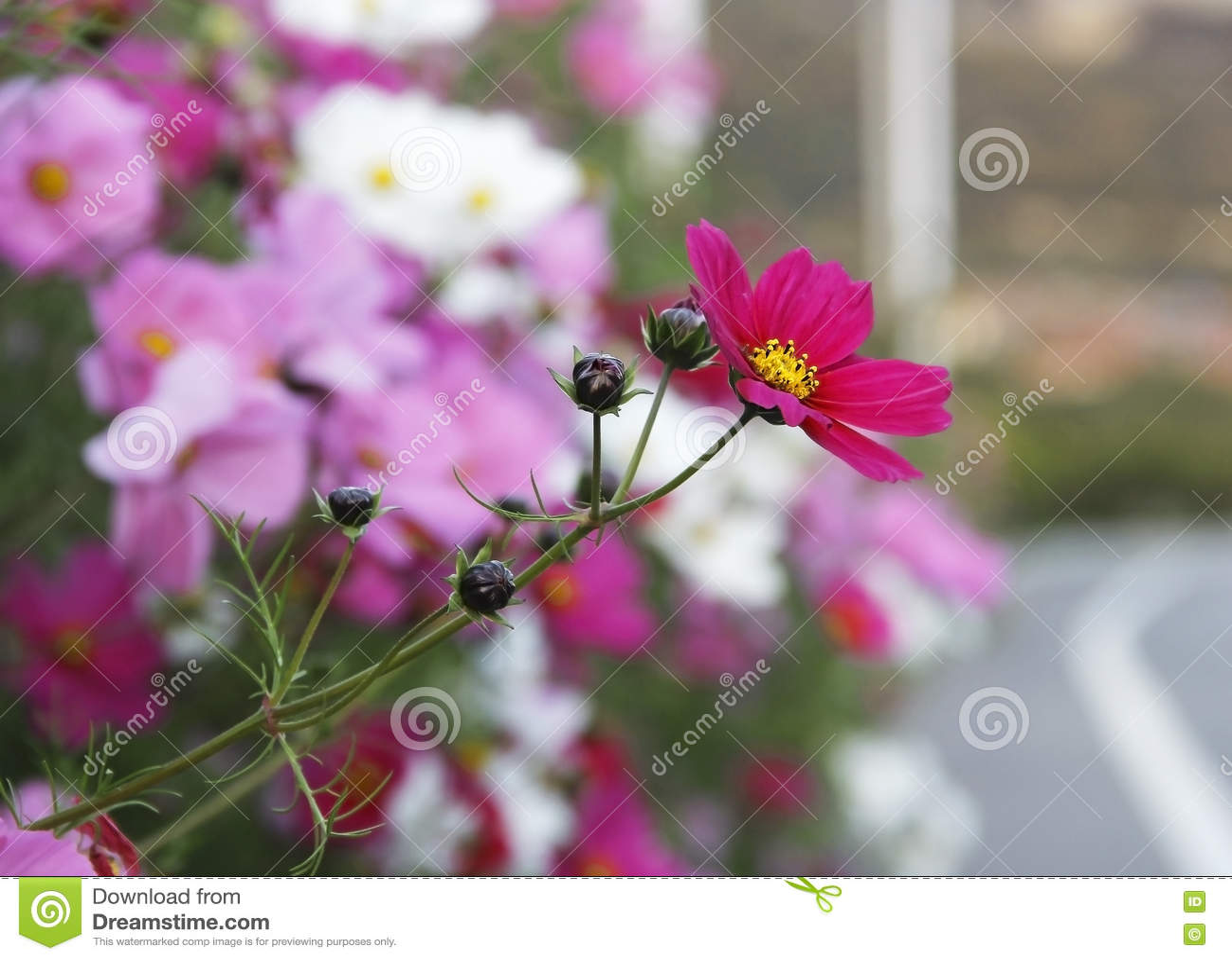 Galsang blomma
