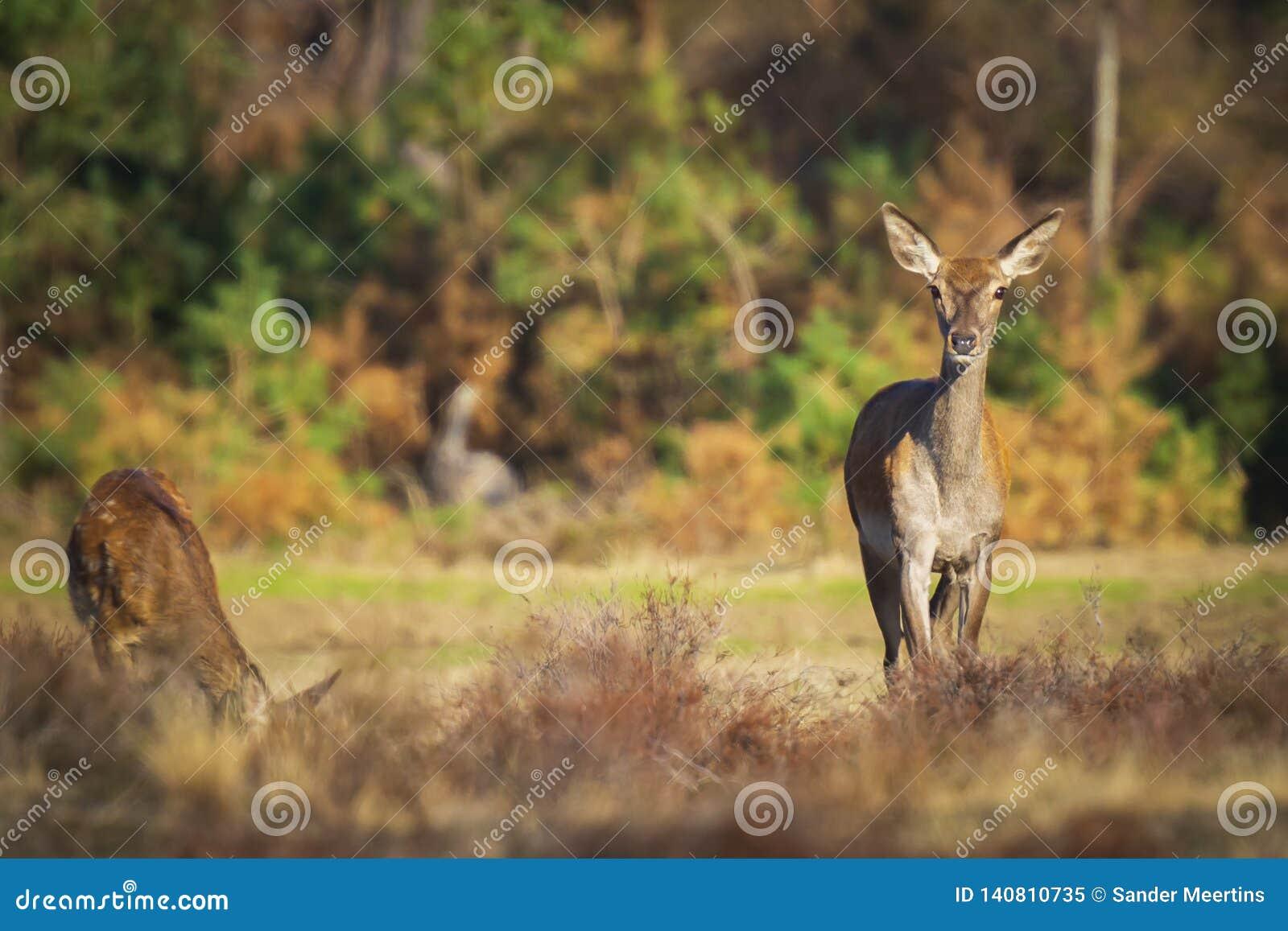 Gama de los ciervos comunes o trasero femenina, elaphus del Cervus
