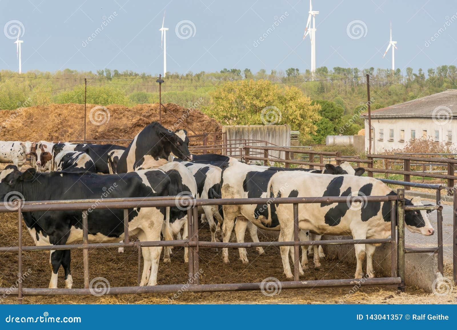 Gama libre de vacas y de ganado
