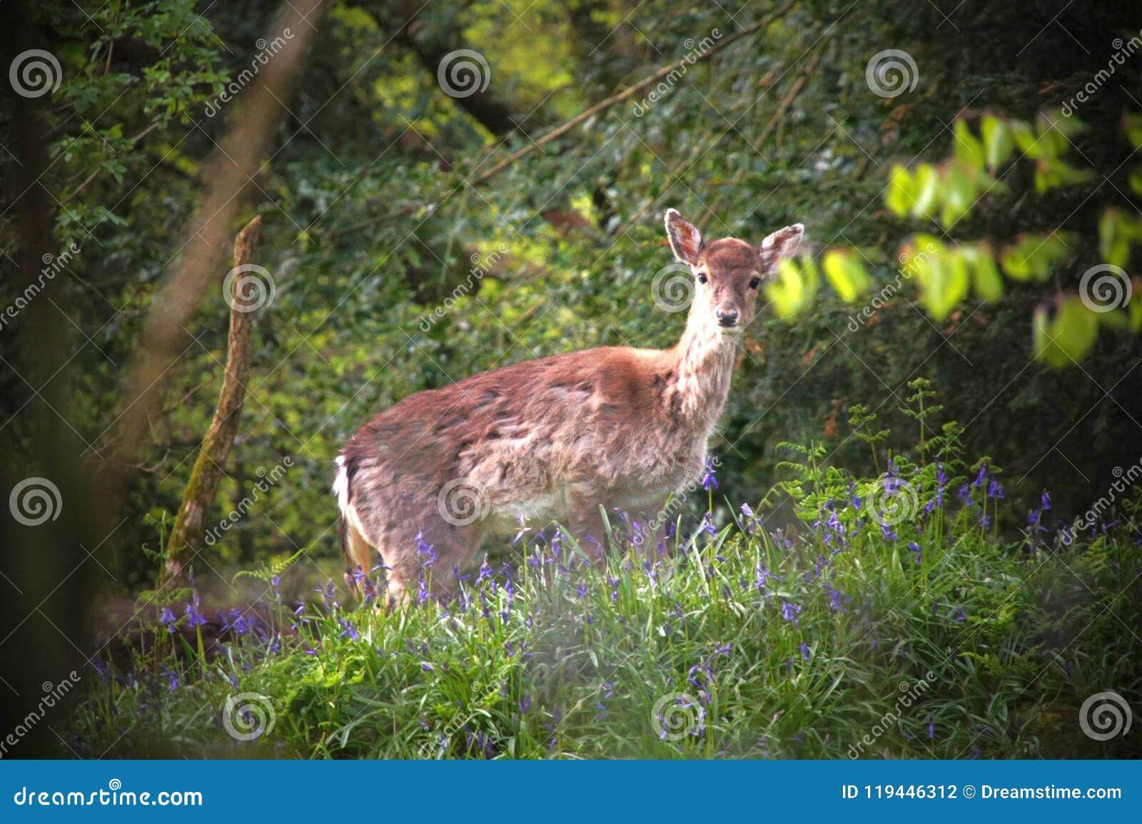 Gama un ciervo, vagando en las campanillas