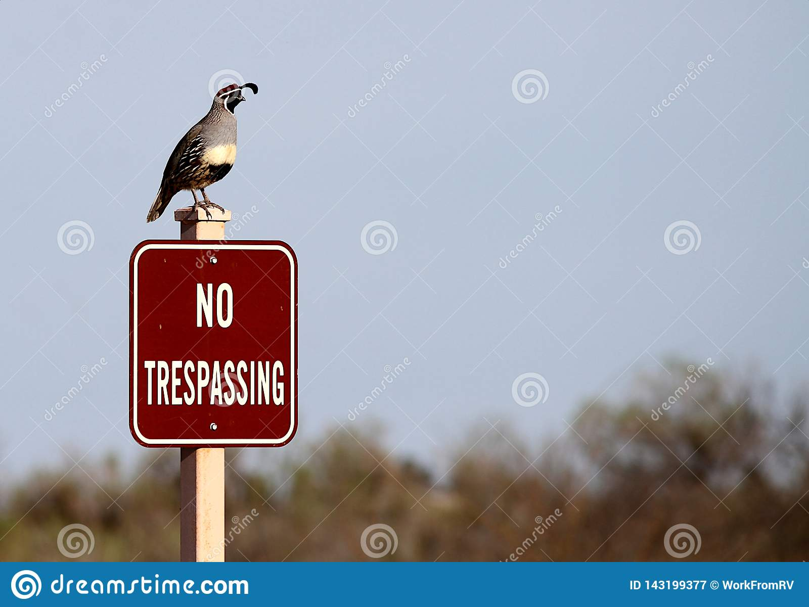 Gambel`s quail standing on no trespassing sign.