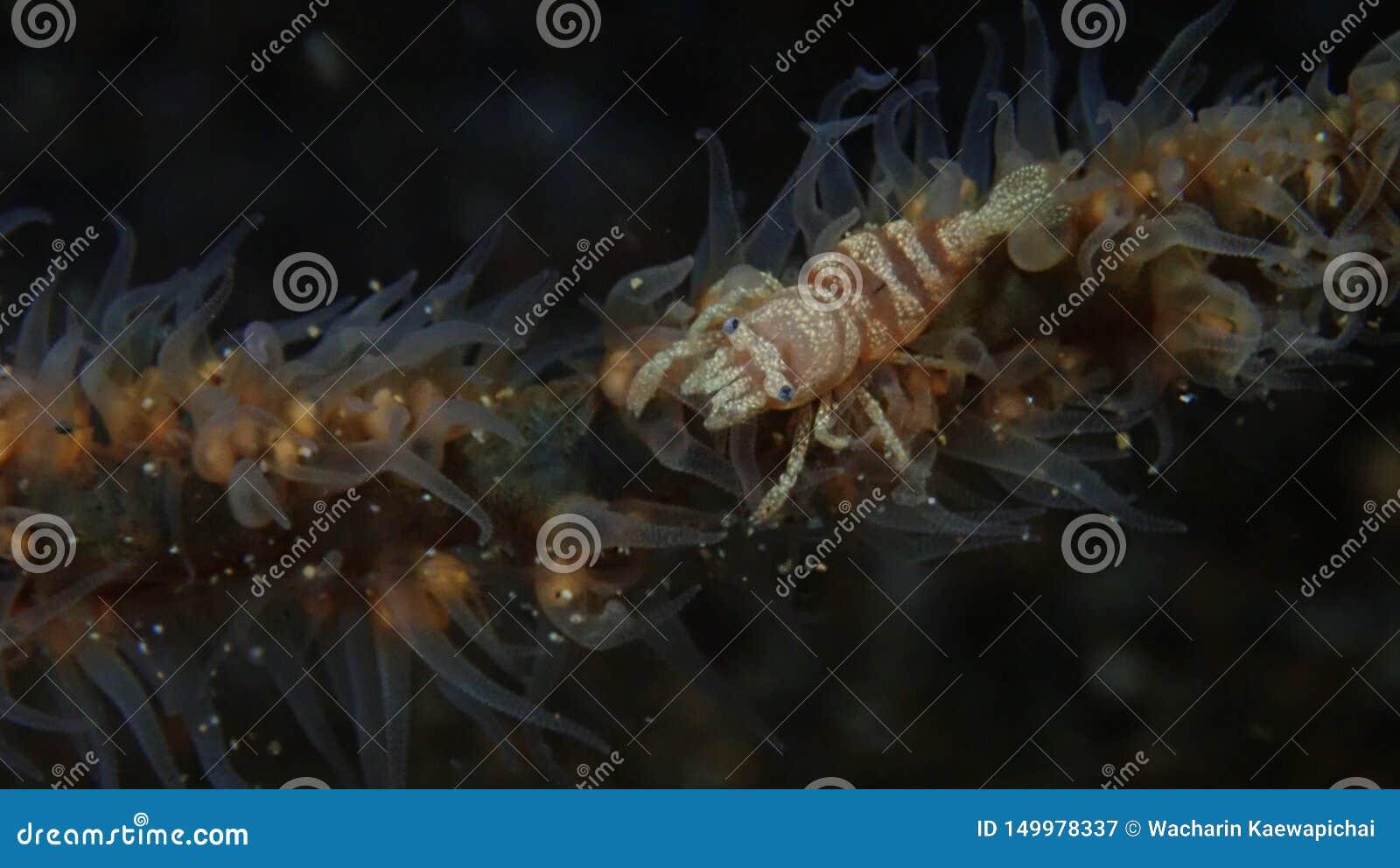Gamberetto della frusta del mare sulla frusta del mare in Anilao, filippino