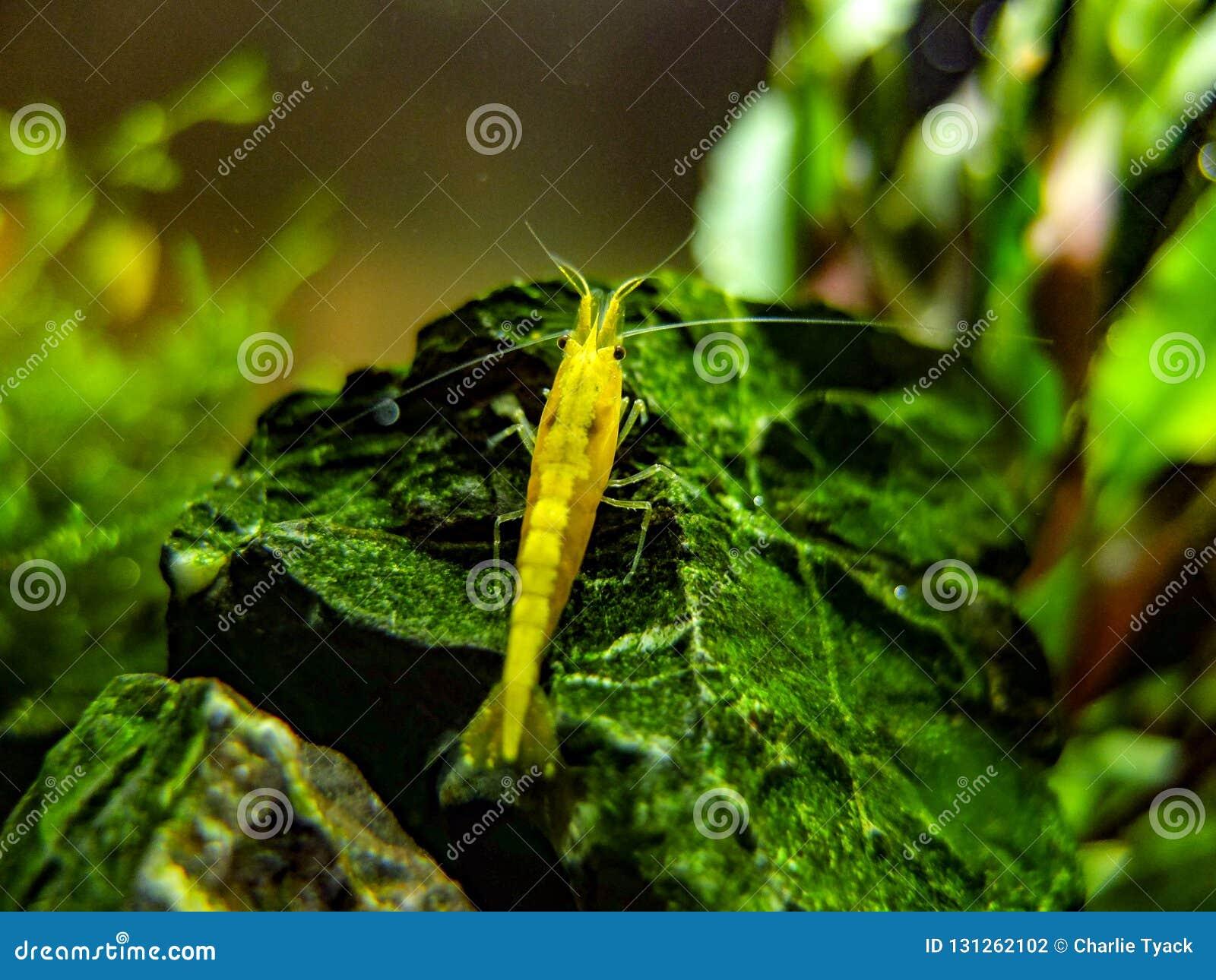 Gamberetto giallo nano su roccia in un carro armato nano piantato