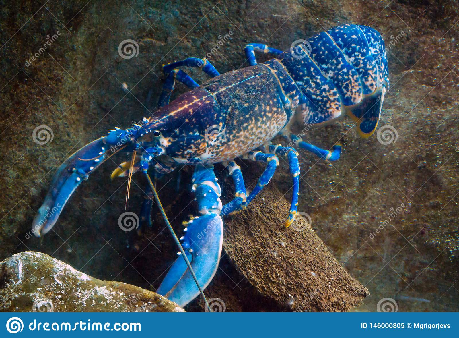 Gambero blu australiano Colourful, aragosta, cherax quadricarinatus in acquario
